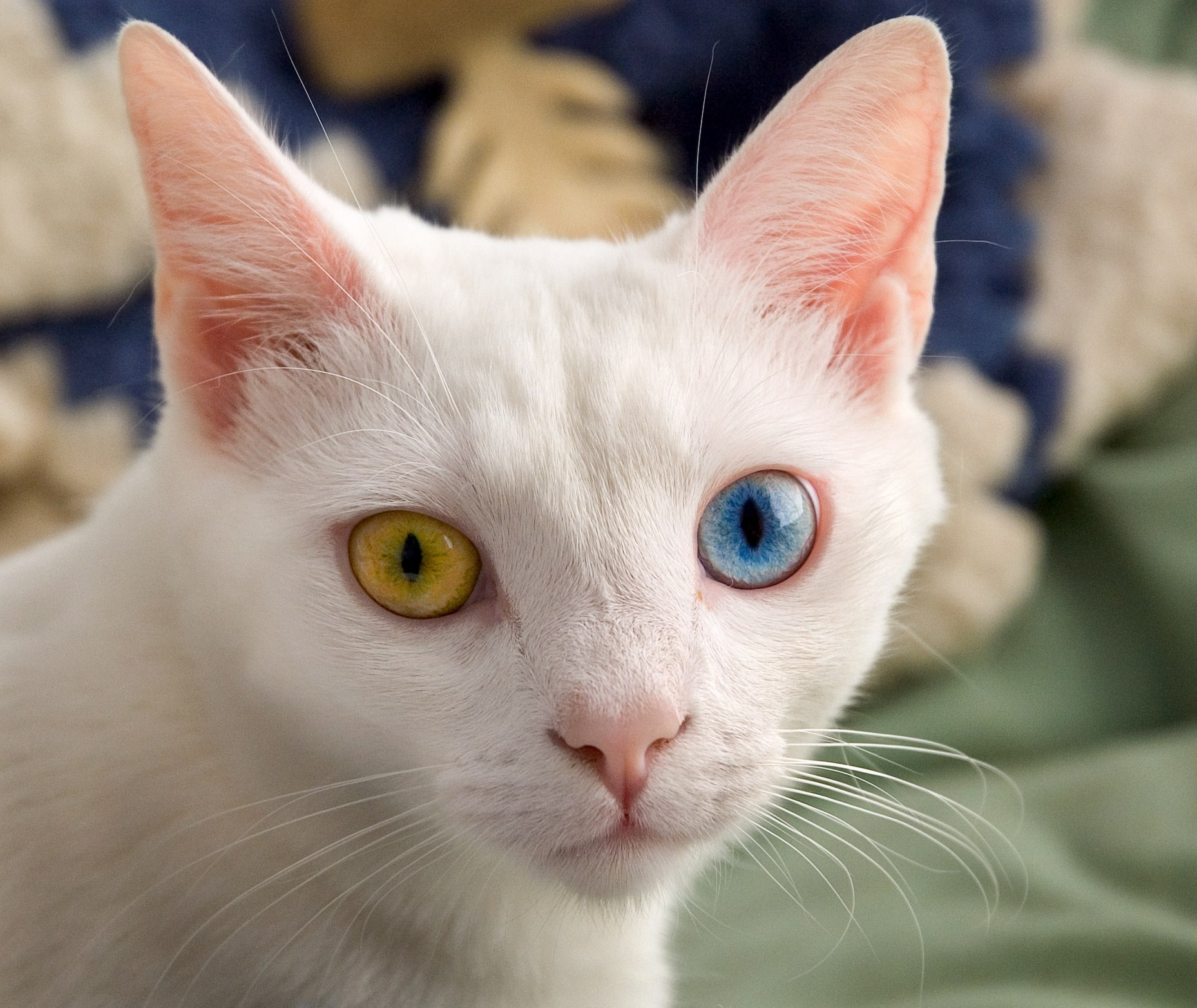 Odd-eyed cat - Wikipedia