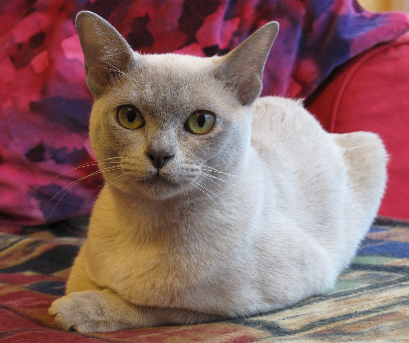 Burmese Cats Animal Planet - Pictures Of Animals 2016