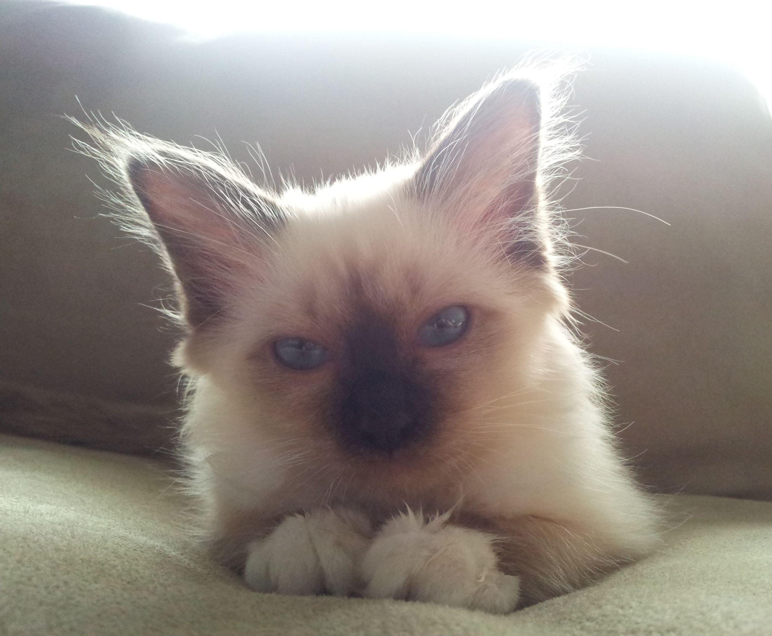 Female #Birman #Kitten Lulu, 13 weeks old. I want her!!!!   awesome ...