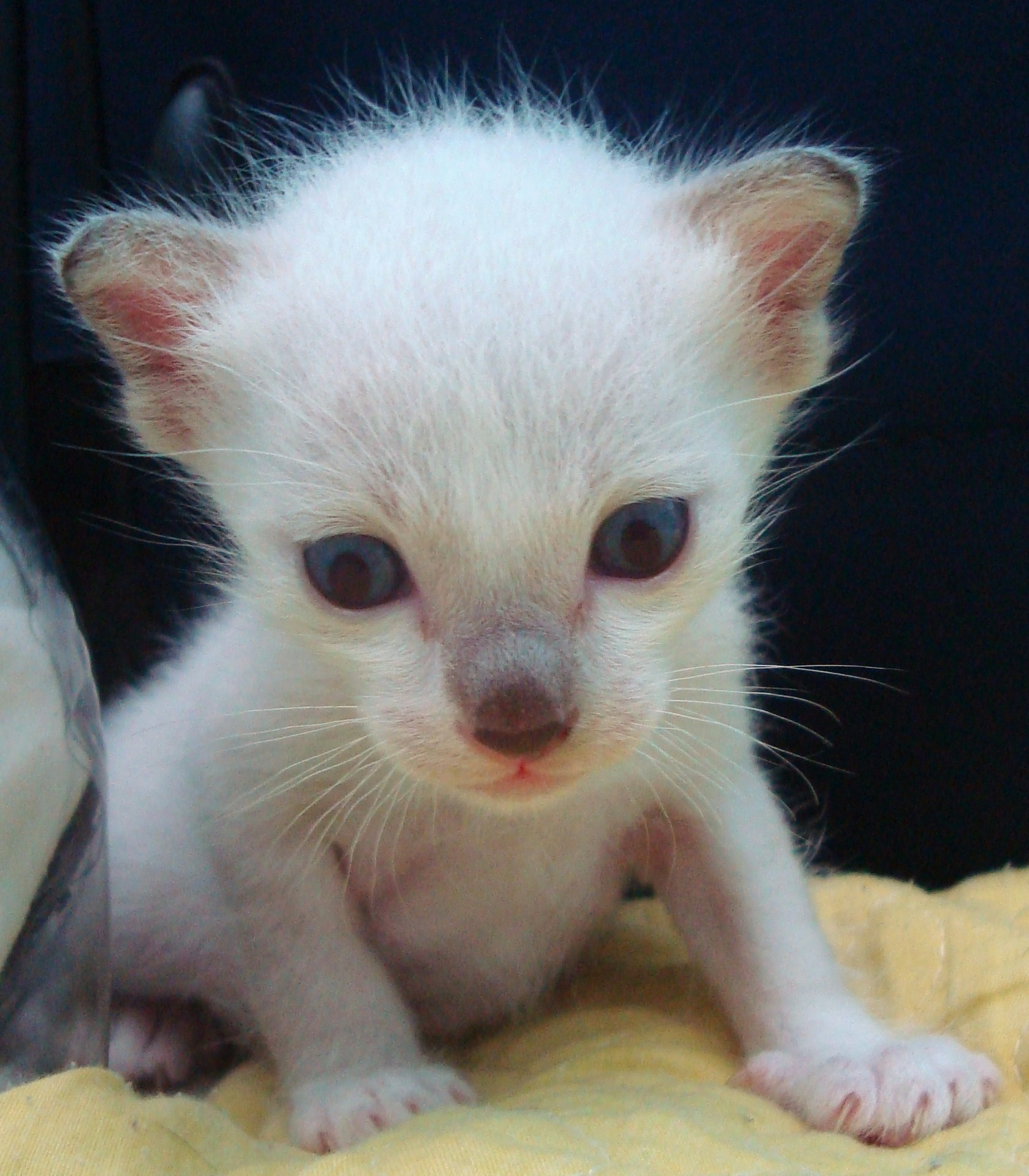Albino Burmese Kitten, Albino, Fuzzy, Unusual, Thailand, HQ Photo