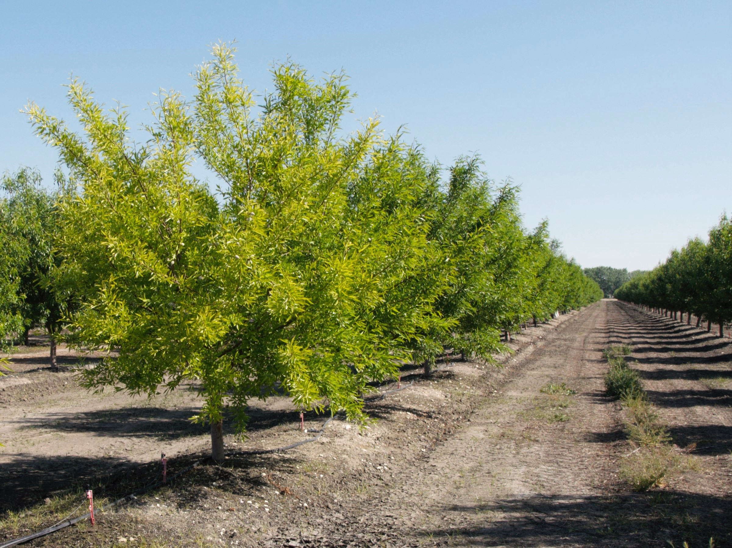 Yellow Trees and Saturated Soils - The Almond Doctor