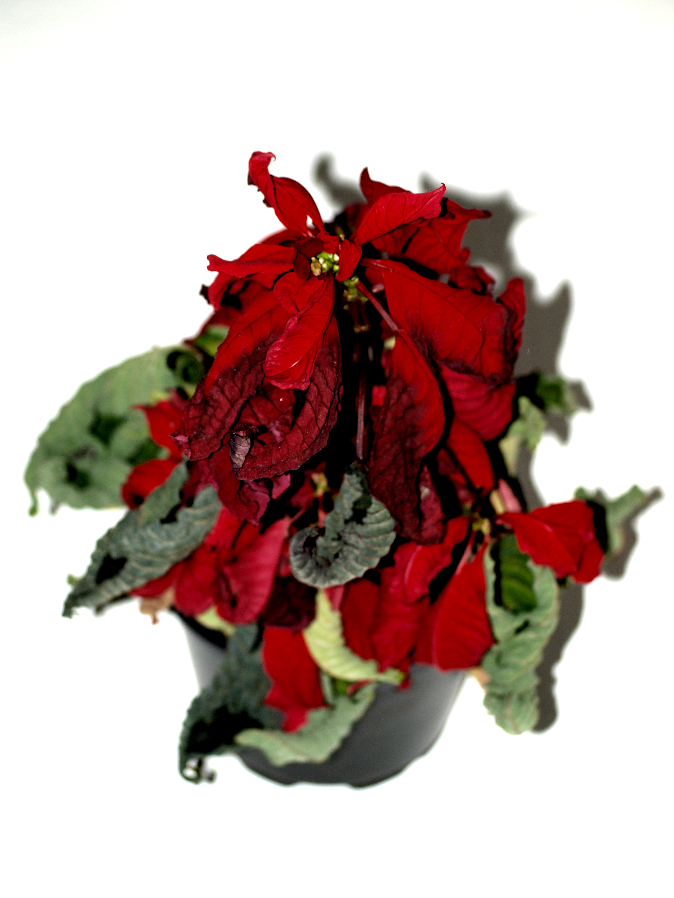 Free photo: Almost dead flower - rose, roses, plant - Non-Commercial ...