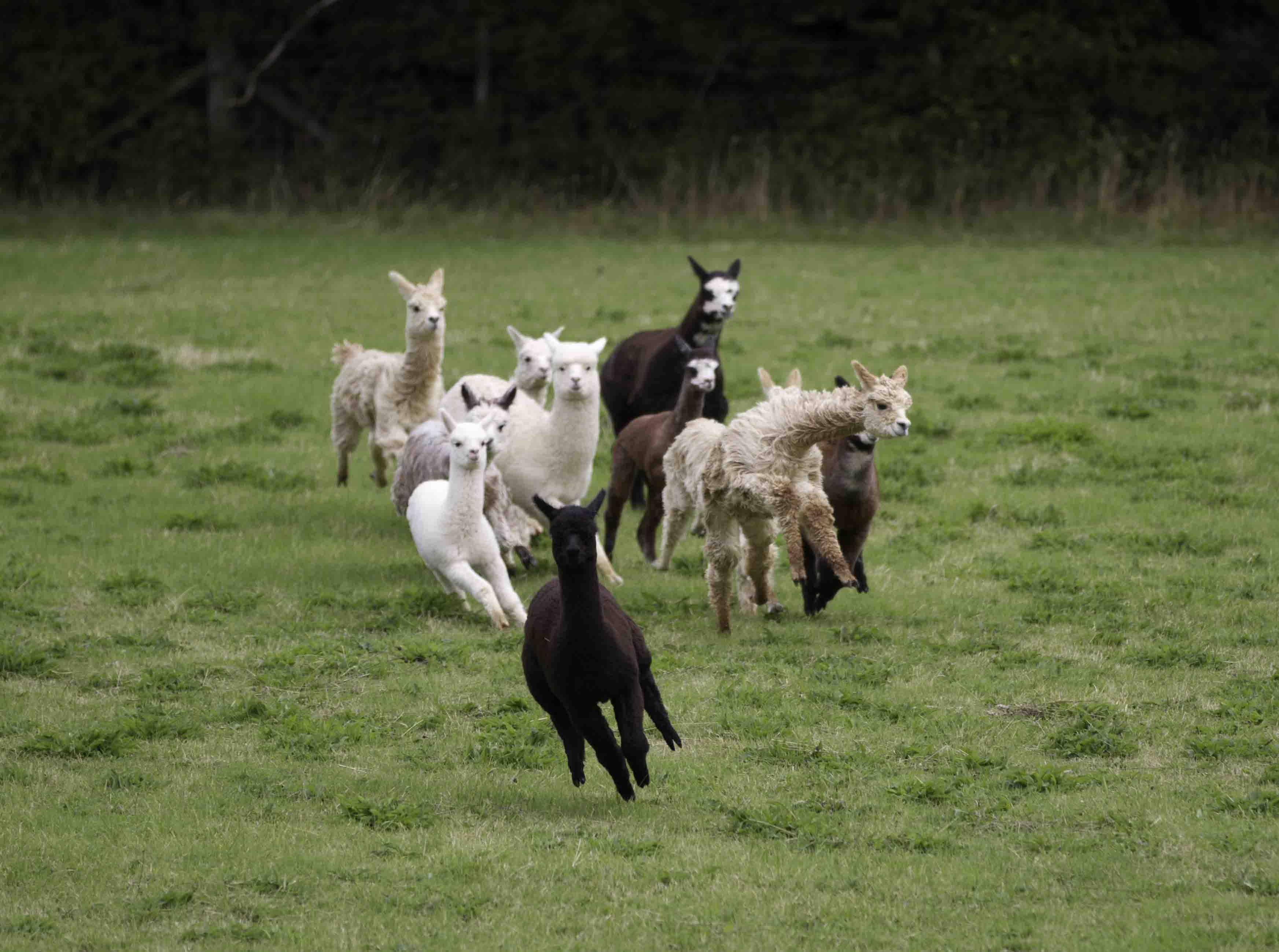 Alpaca in field photo