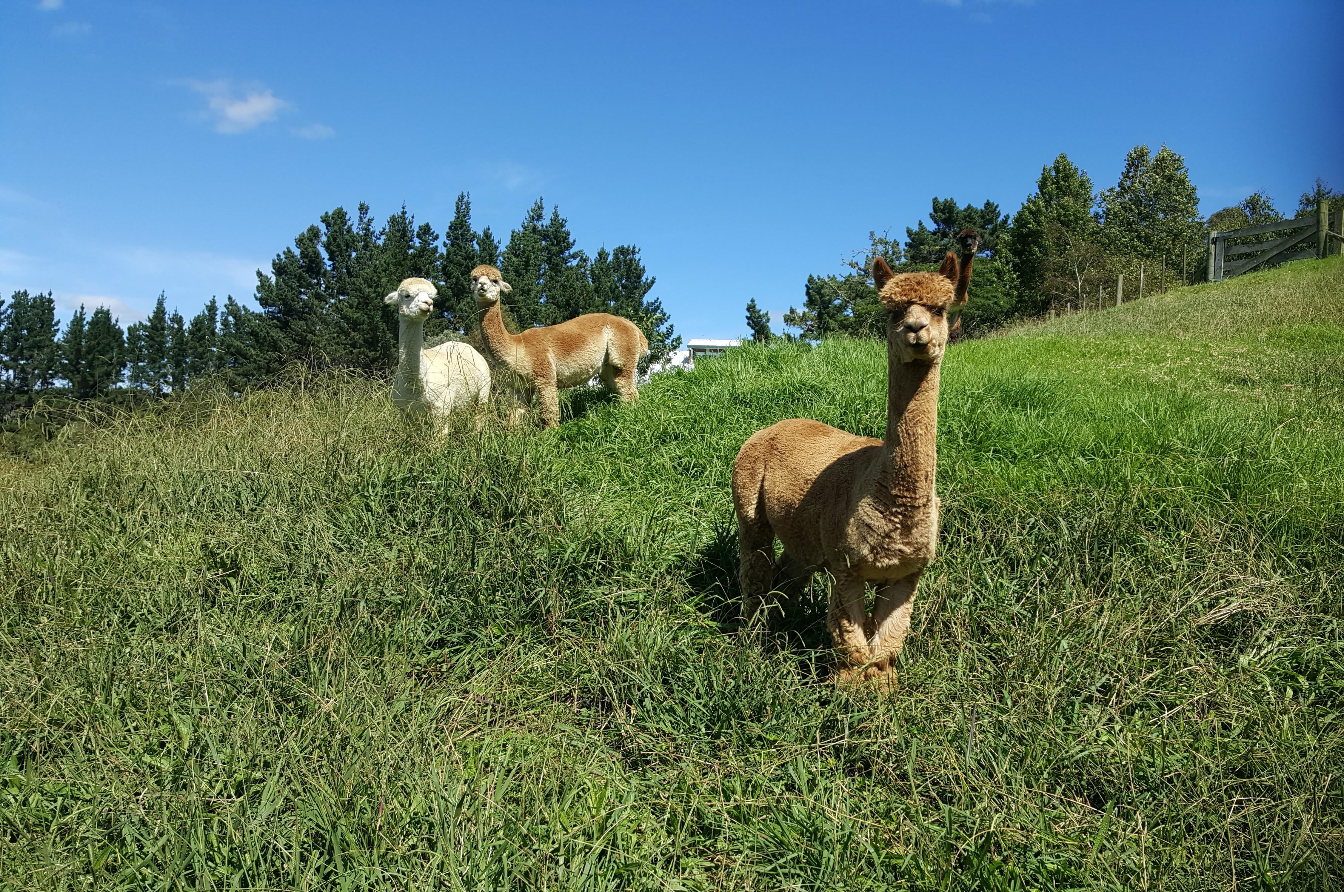 Alpacas at mangemangeroa photo