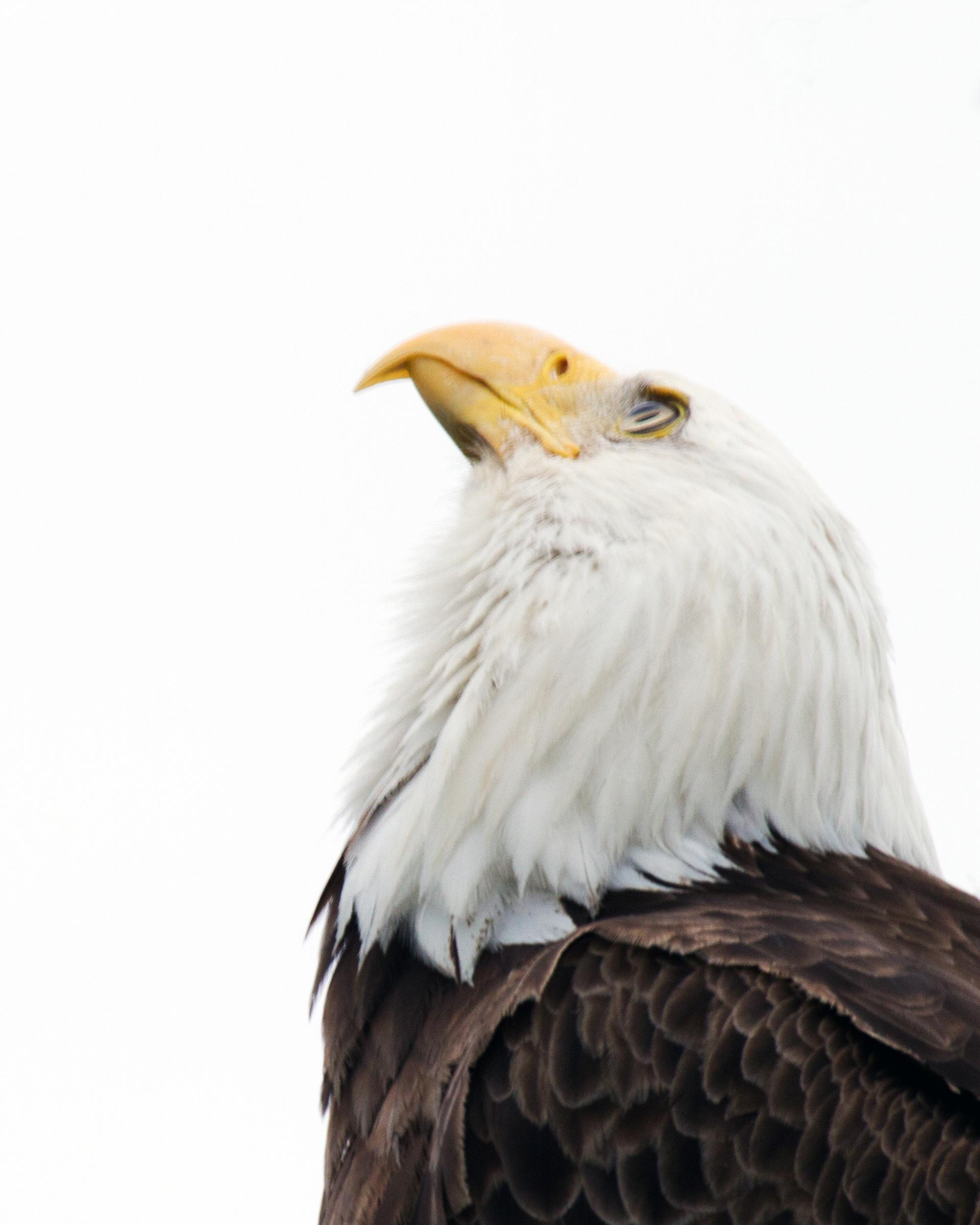 American Bald Eagle, America, Staring, Prey, Pygargue, HQ Photo
