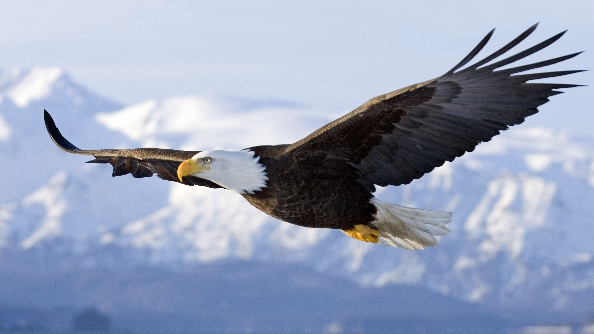 The American bald eagle (Haliaeetus Leucocephalus) | pgcps mess ...