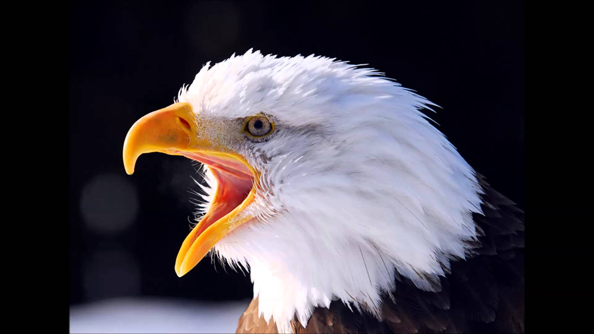 american bald eagle sounds and calls - YouTube