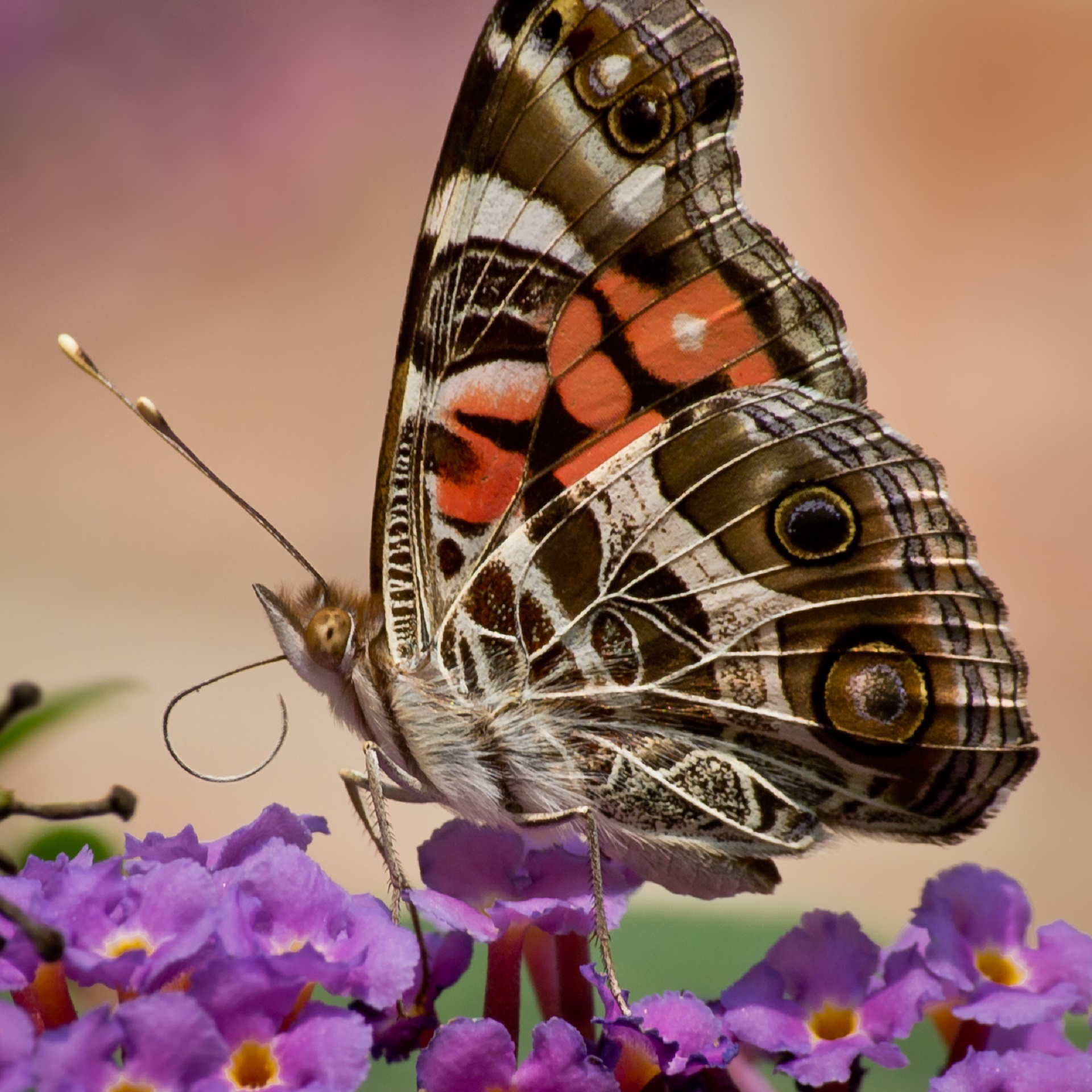 American painted lady butterfly photo