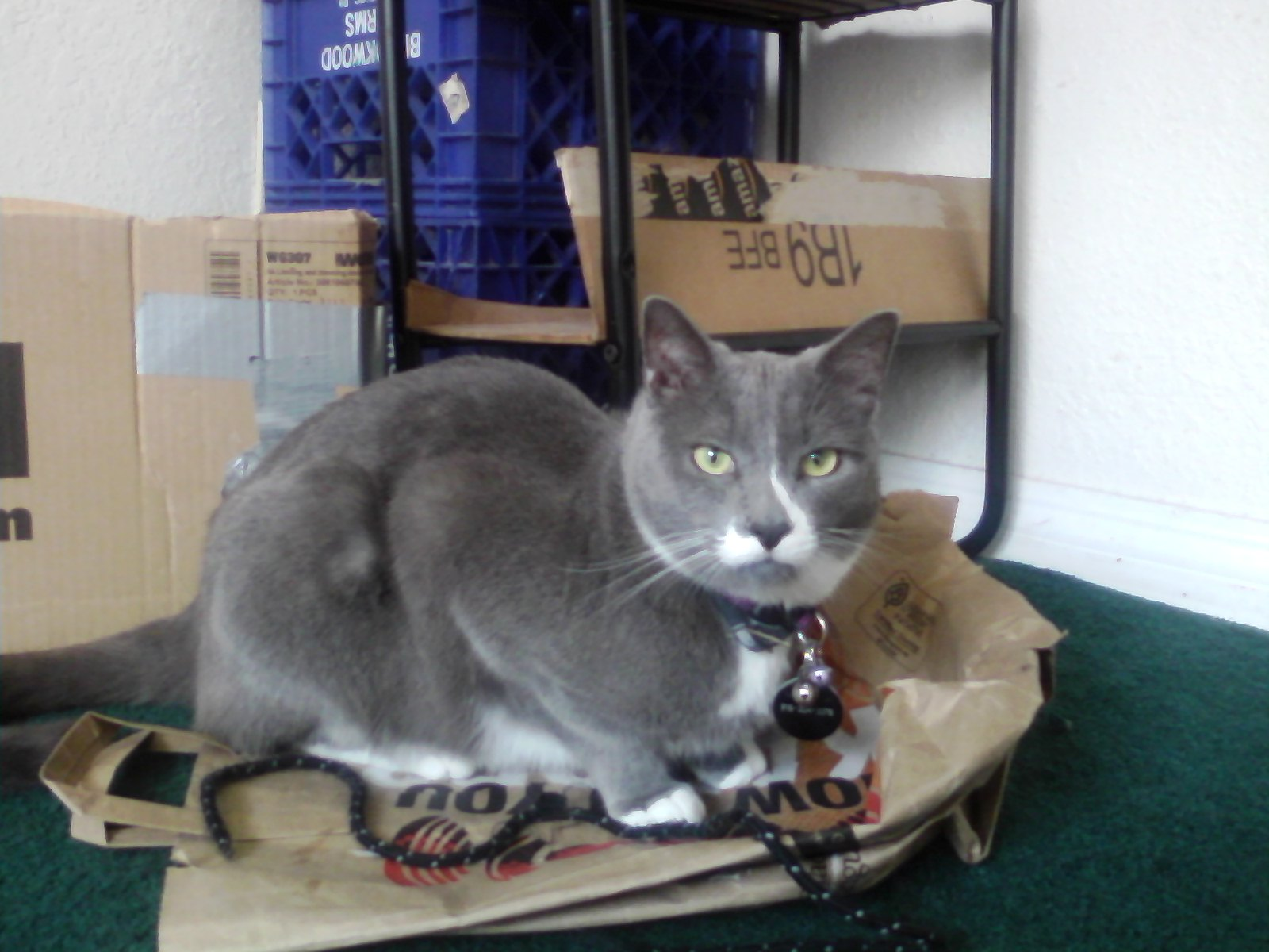American Ringtail Cat - PoC
