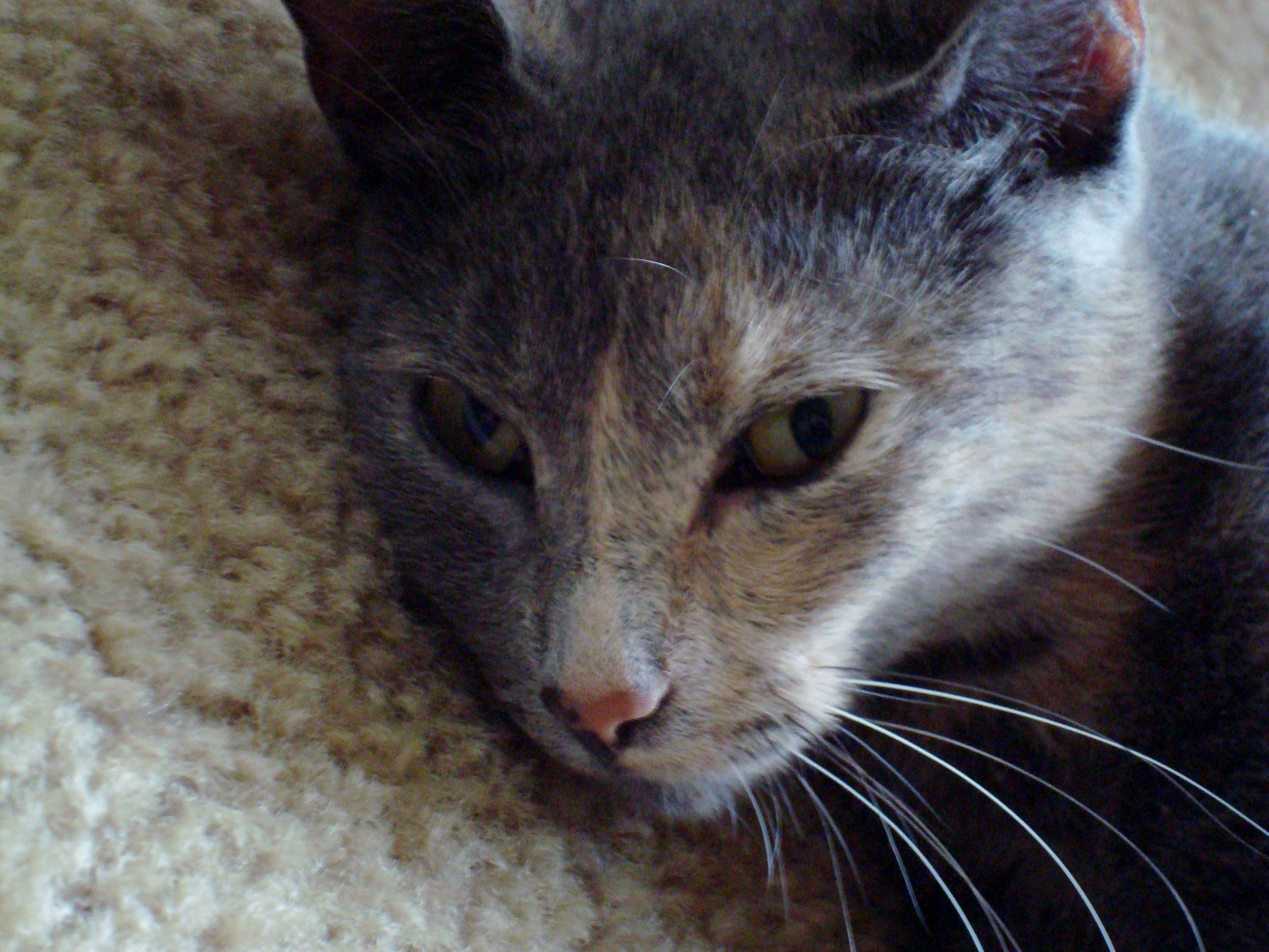 American Ringtail, American, Cat, Cute, Female, HQ Photo