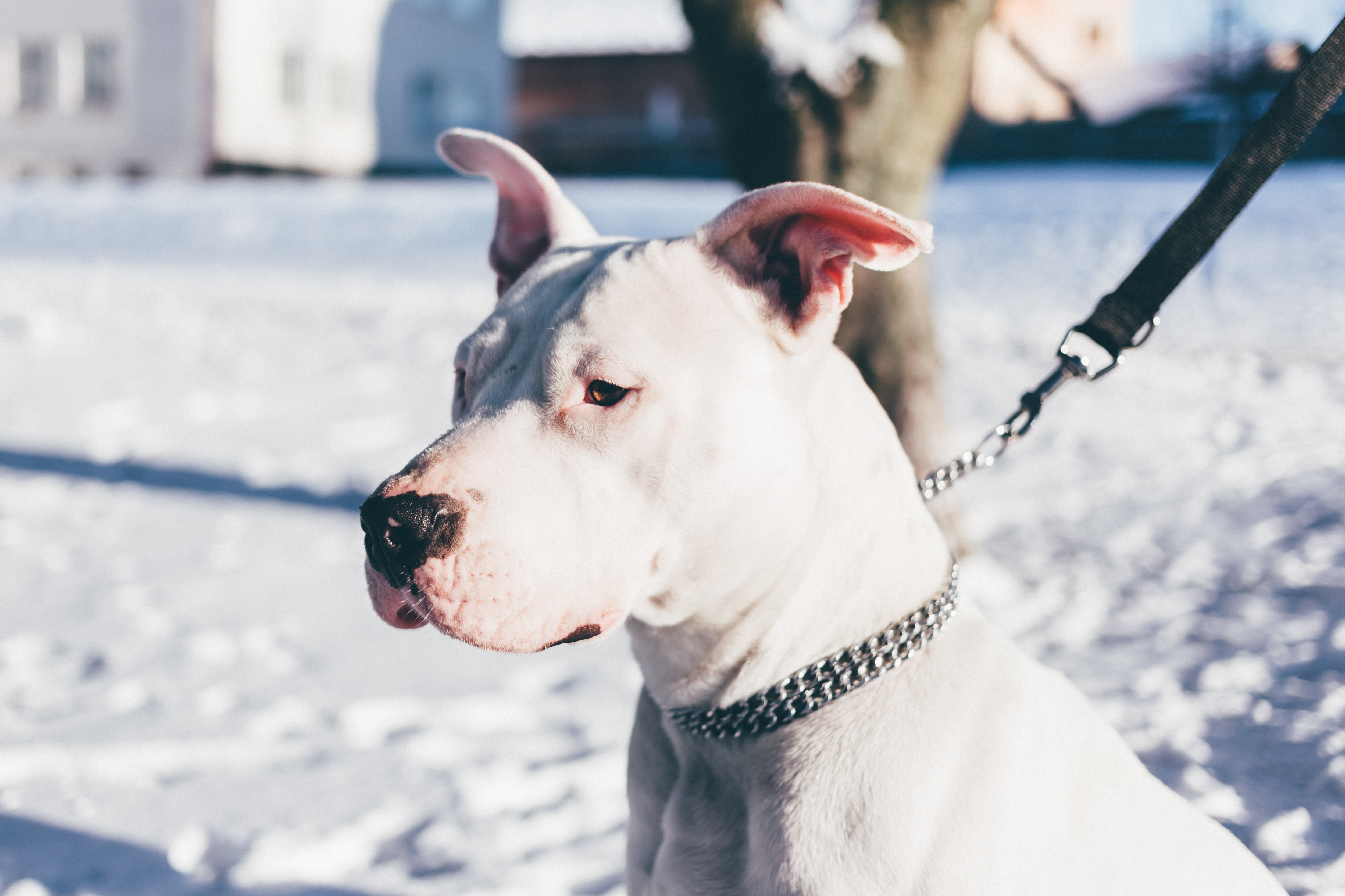 American staffordshire terrier, American, Pets, White, Watching, HQ Photo