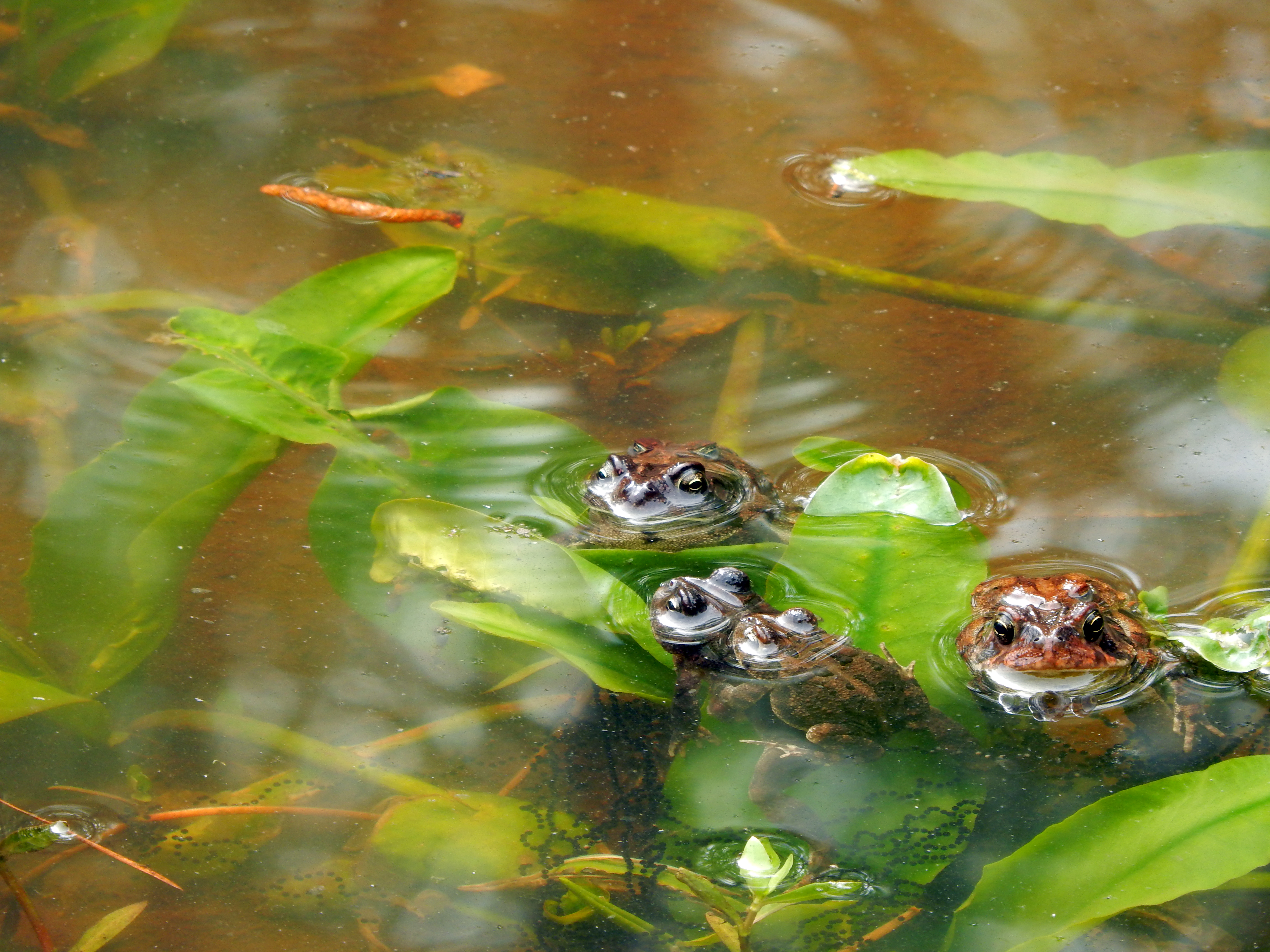 Amphibians southern toads breeding Mazarick Park ncwetlands KG (2), Cypress swamp, North Carolina Wetland, North Carolina Wetlands, Water, HQ Photo