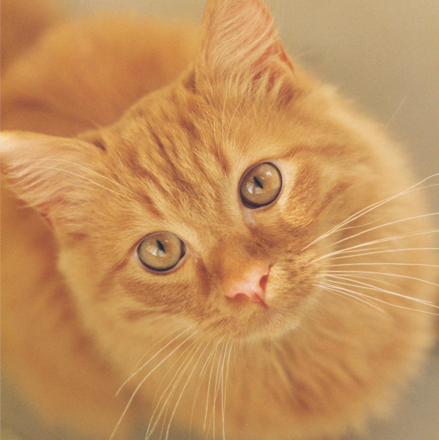 """Trance"", Animal, Bspo06, Cat, Eyes, HQ Photo"