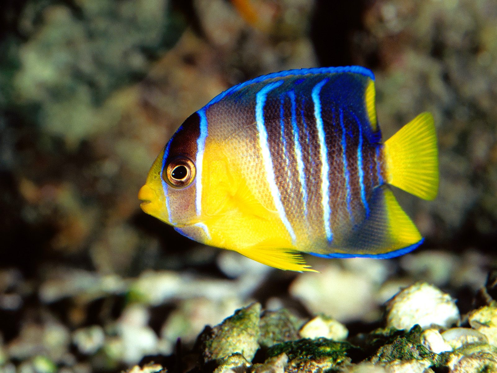 Angel fish photo