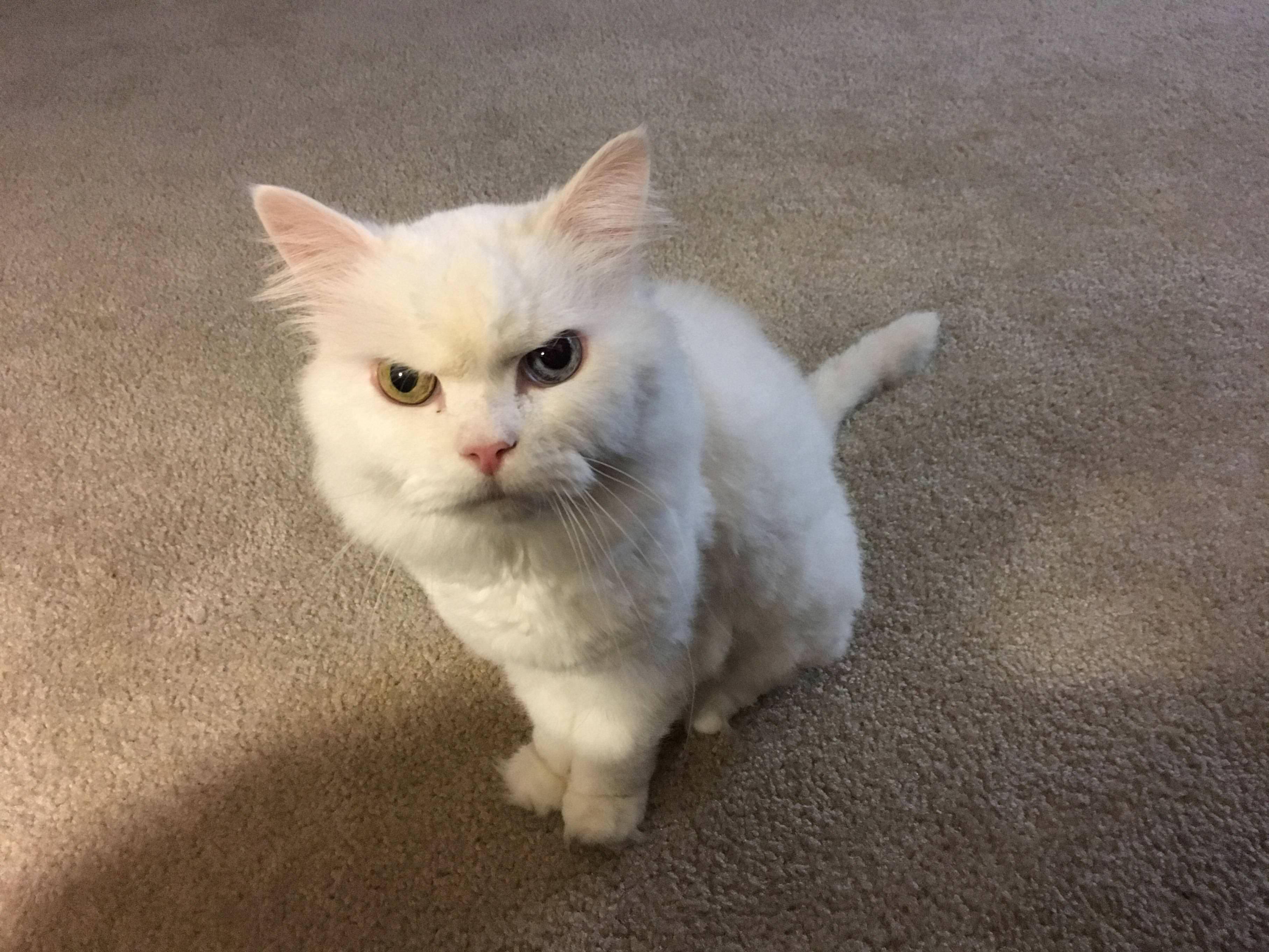 PsBattle: Angry Cat : photoshopbattles