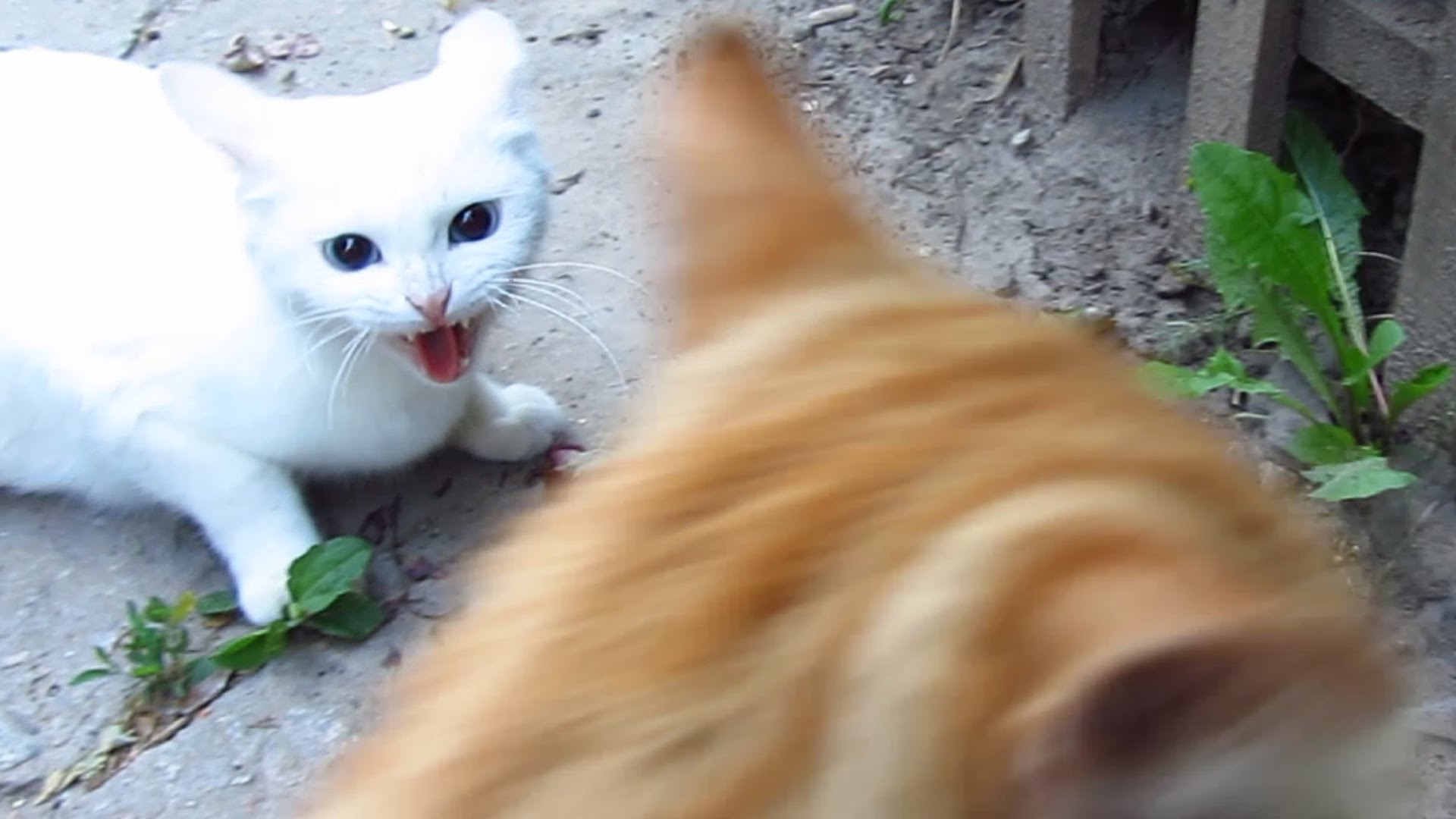White cat very angry - YouTube