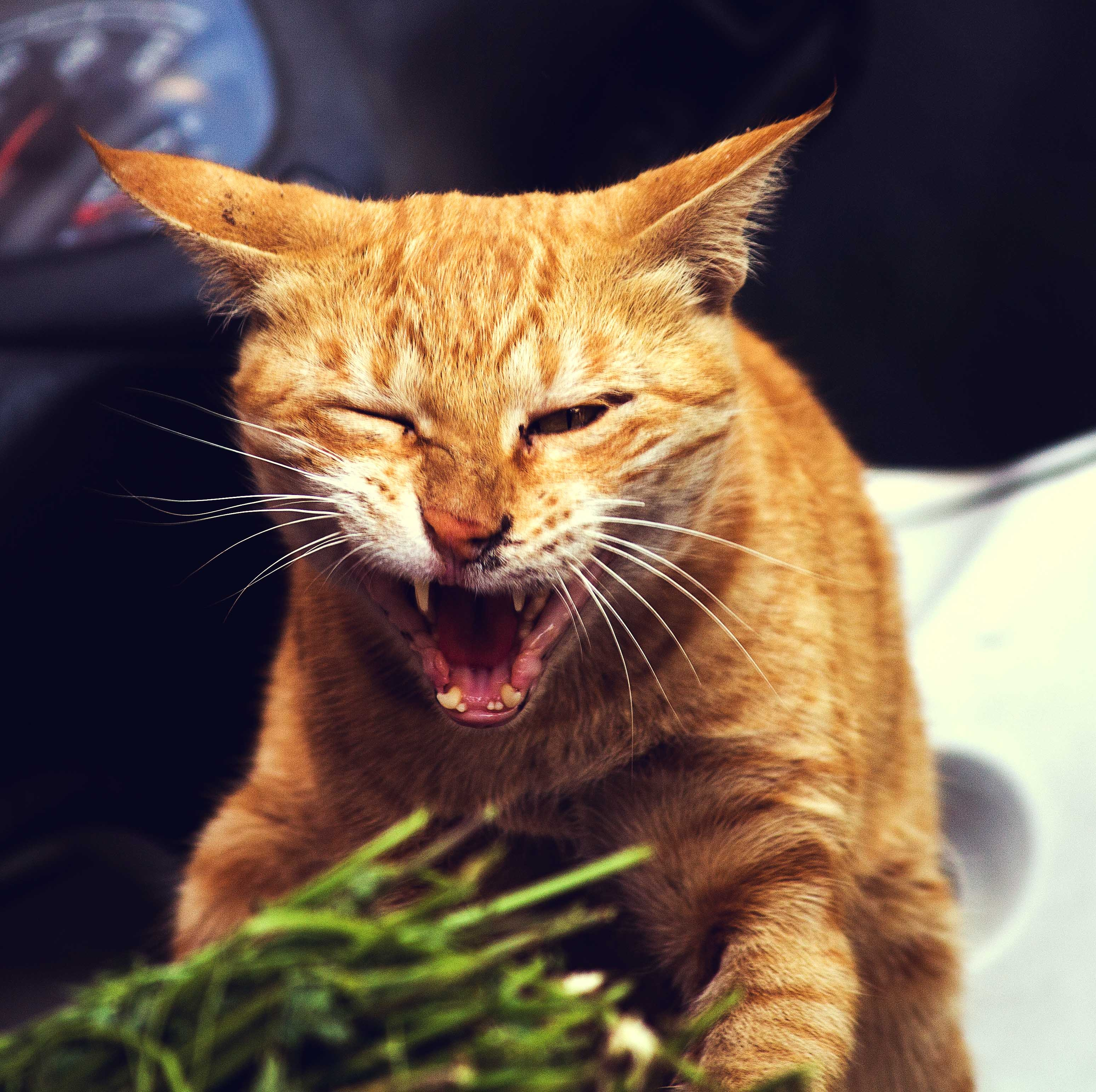 Angry Cat, Angry, Animal, Cat, Pet, HQ Photo
