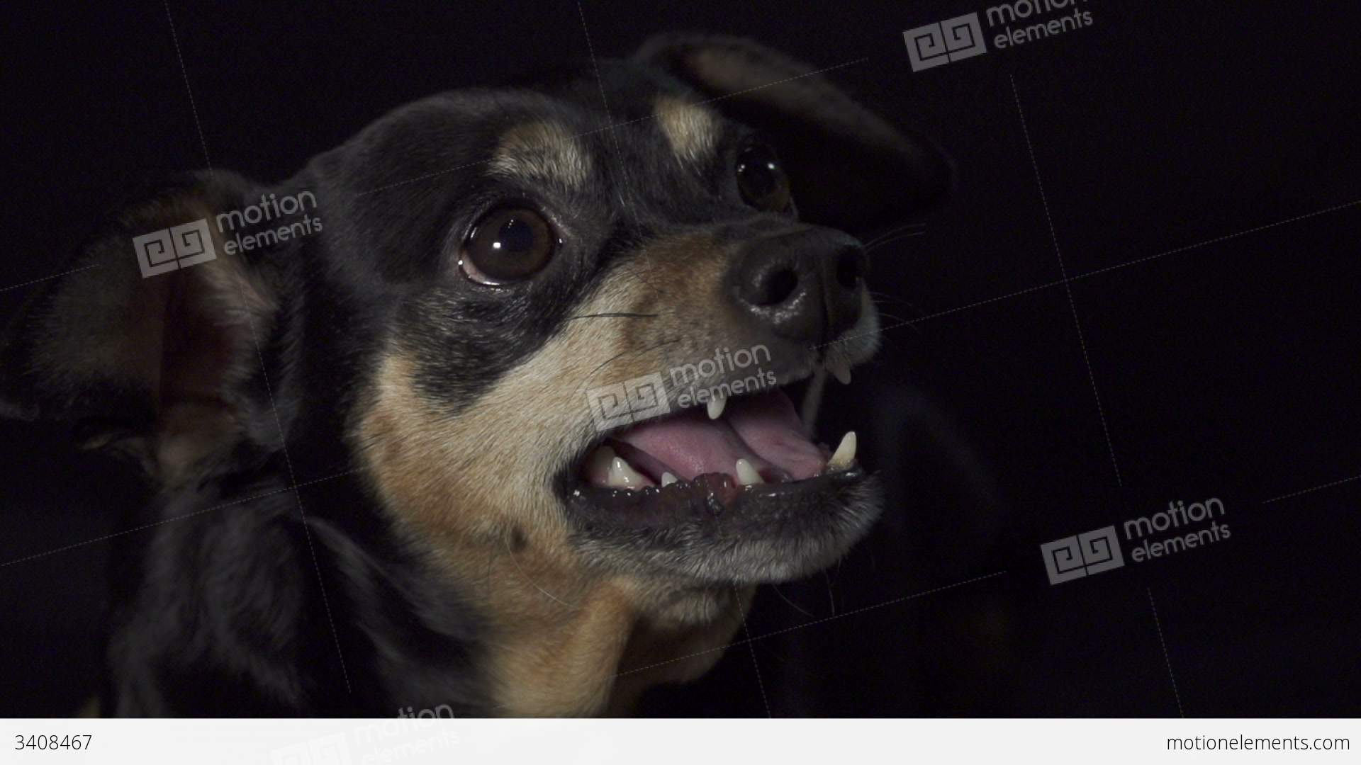 SLOW MOTION: Angry Dog Growling Stock video footage | 3408467
