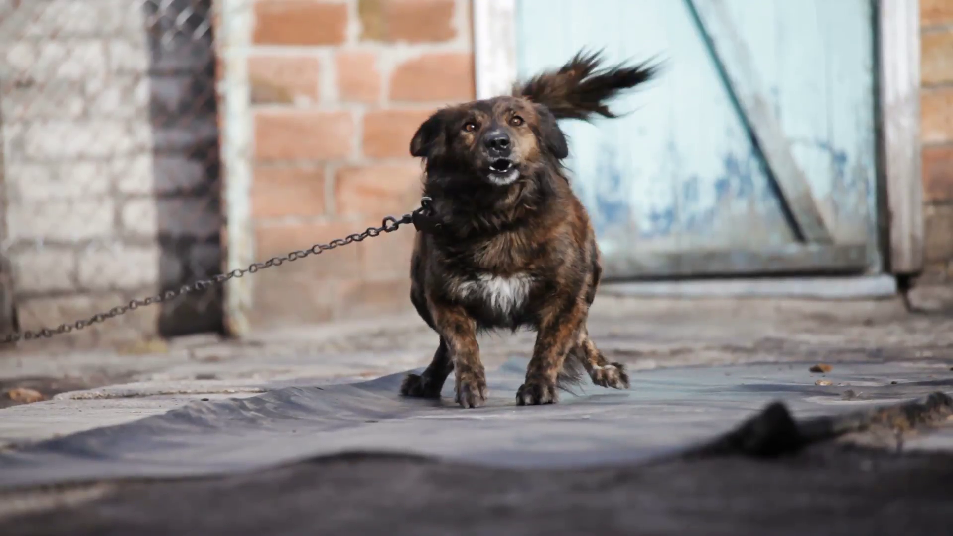 angry dog barks in the yard Stock Video Footage - VideoBlocks