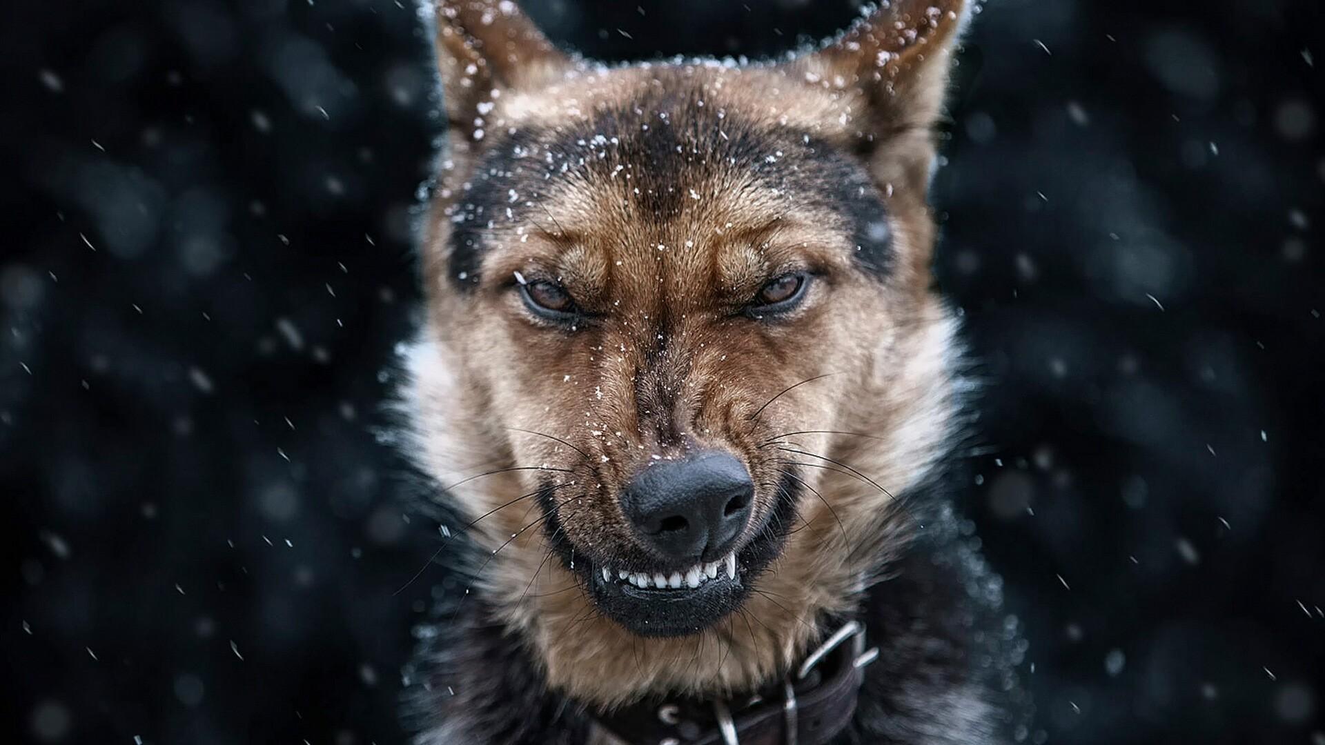 Angry German Shepherd Dog Wallpaper   Wallpaper Studio 10   Tens of ...