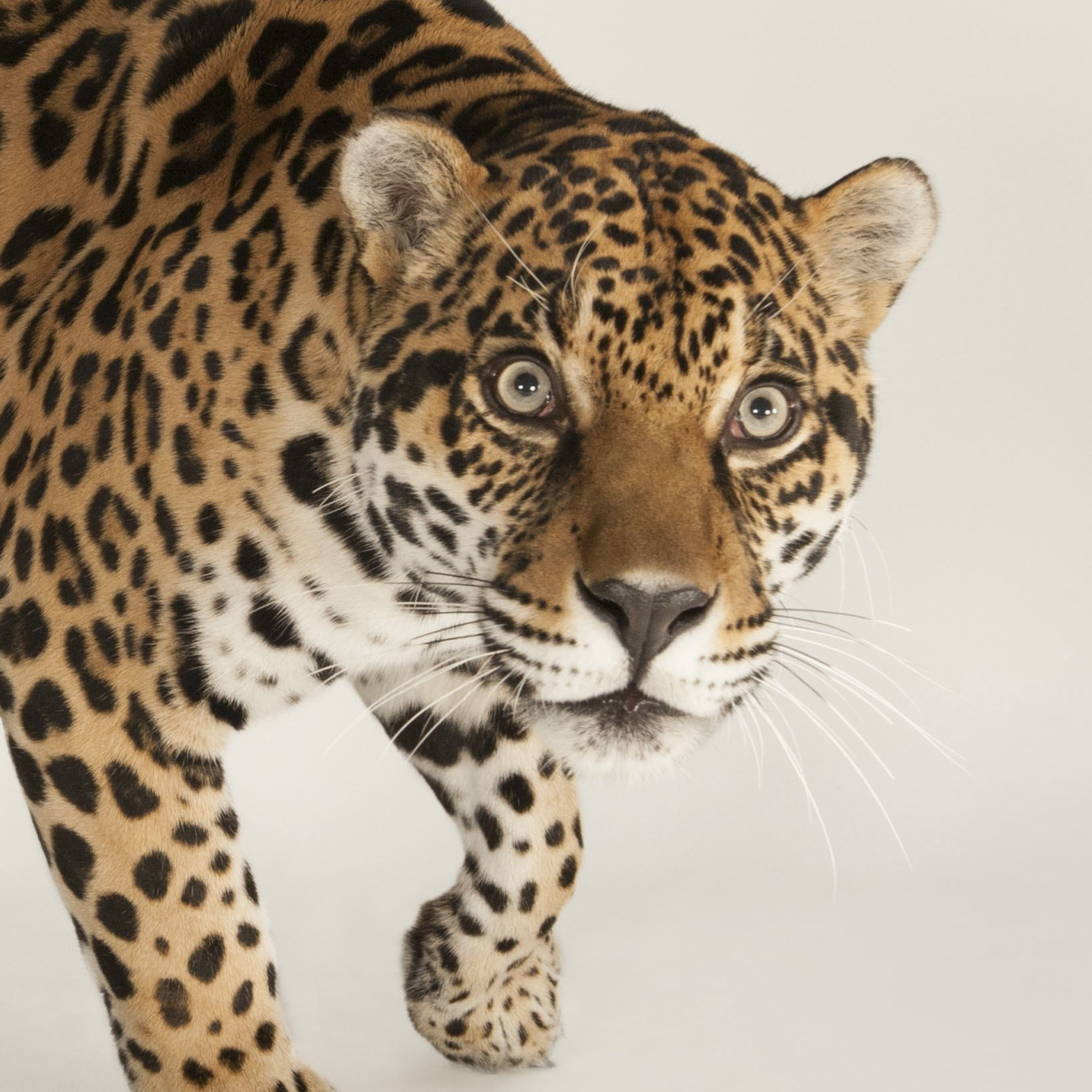 Jaguar | National Geographic
