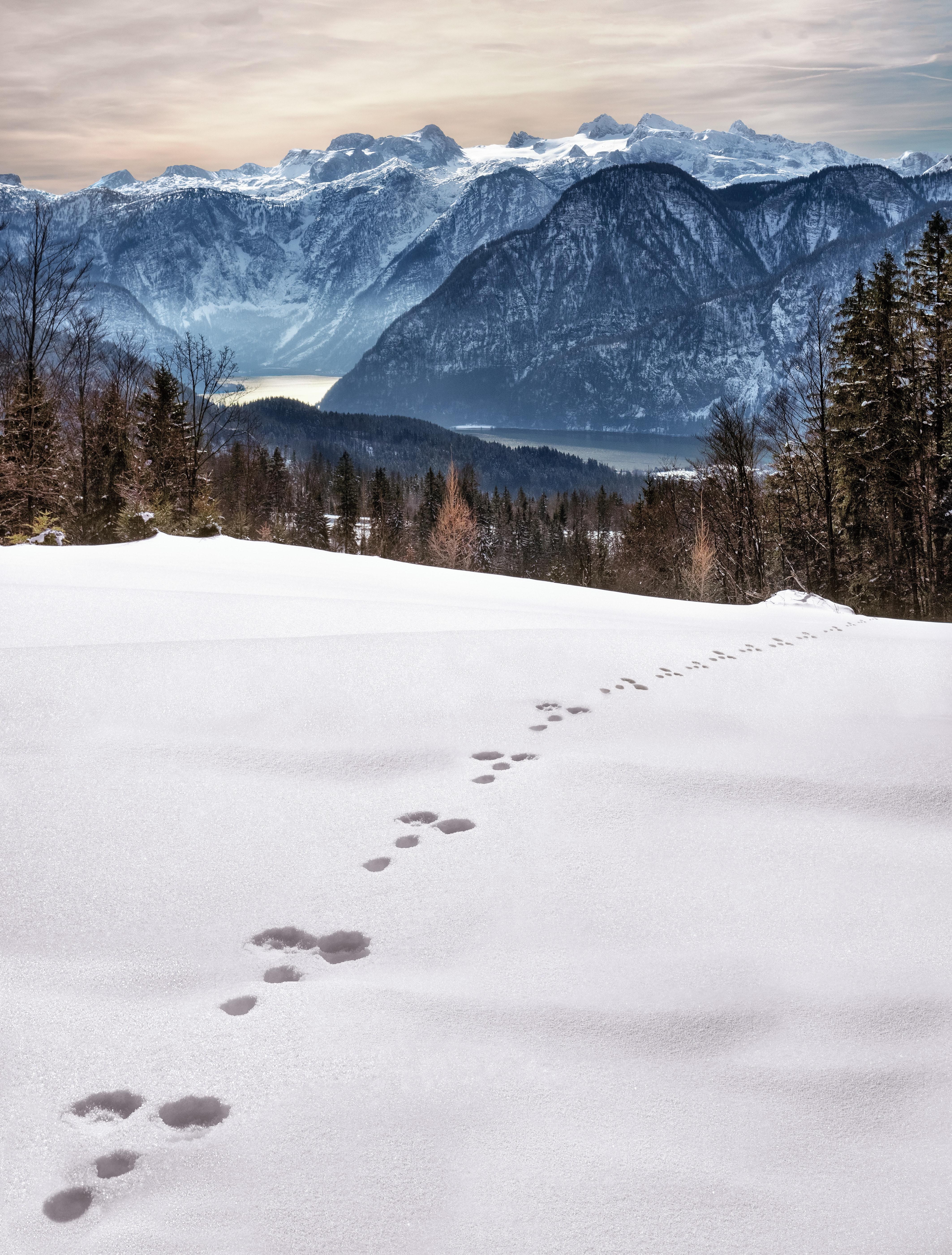 Animal foot prints on snow near mountain at daytime photo