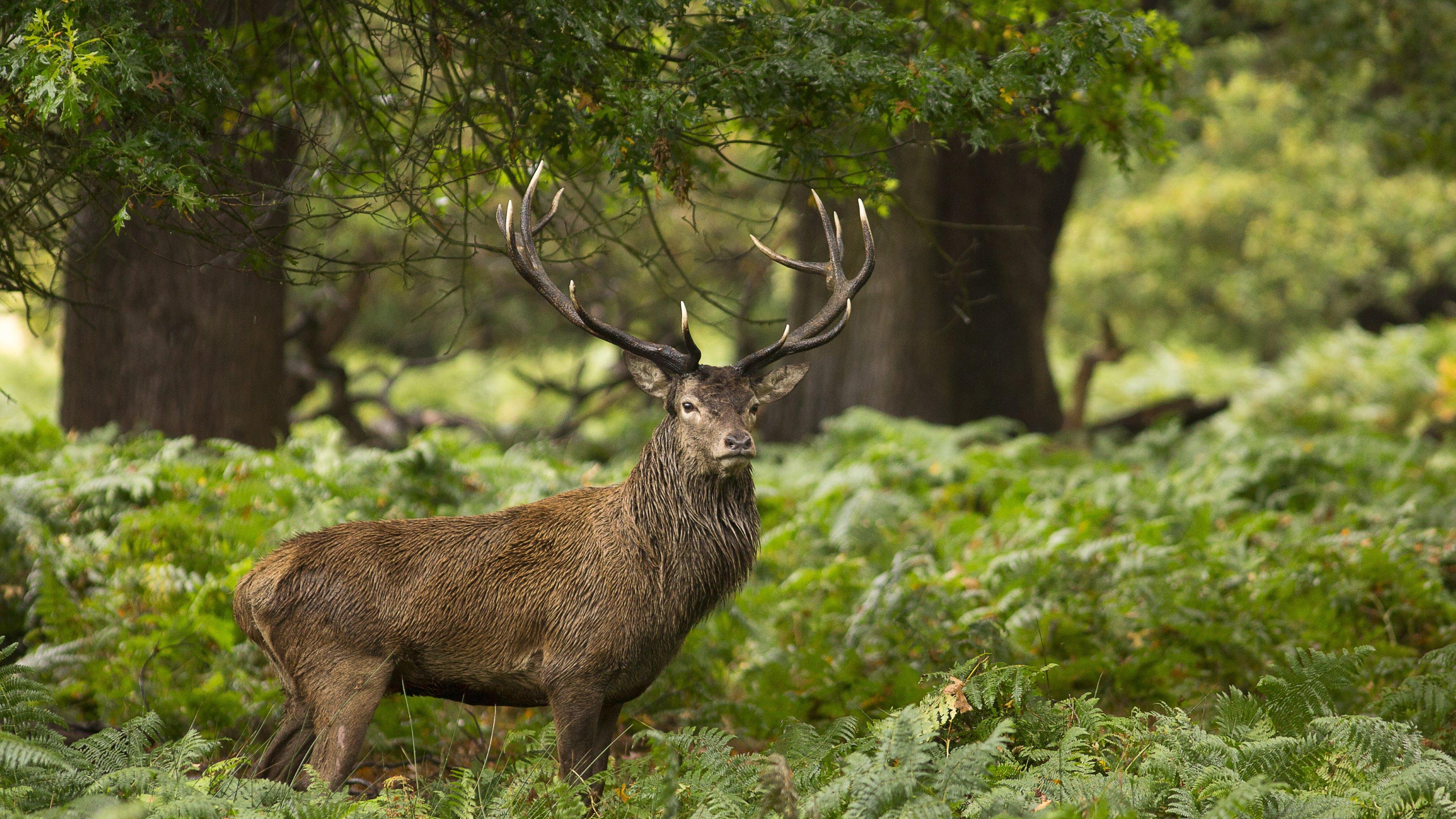 Forest Animal Deer Wallpaper Free Download - Get HD Wallpapers Free
