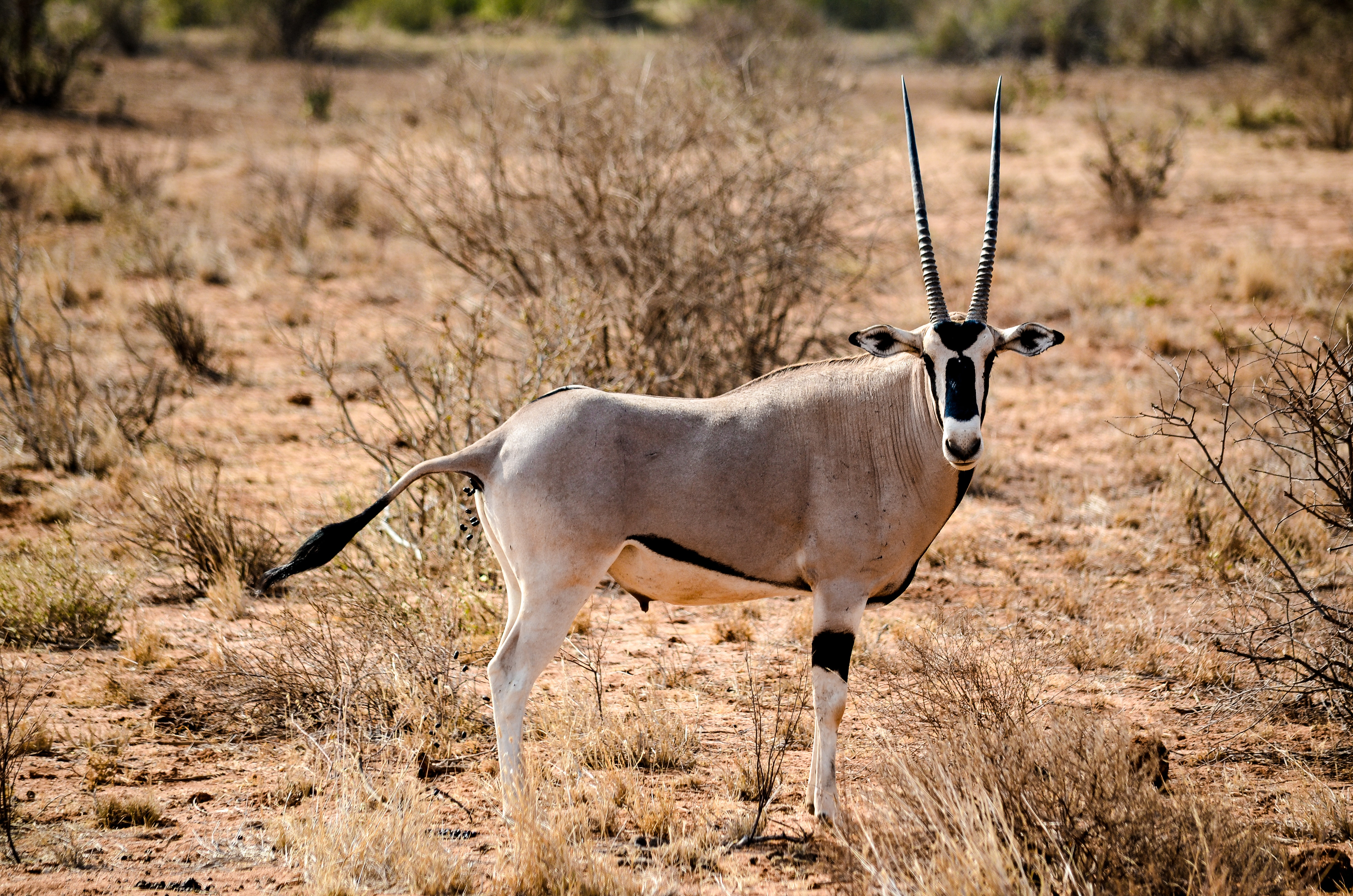 Animal on Forest, Animal, Antelope, Bushes, Conservation, HQ Photo