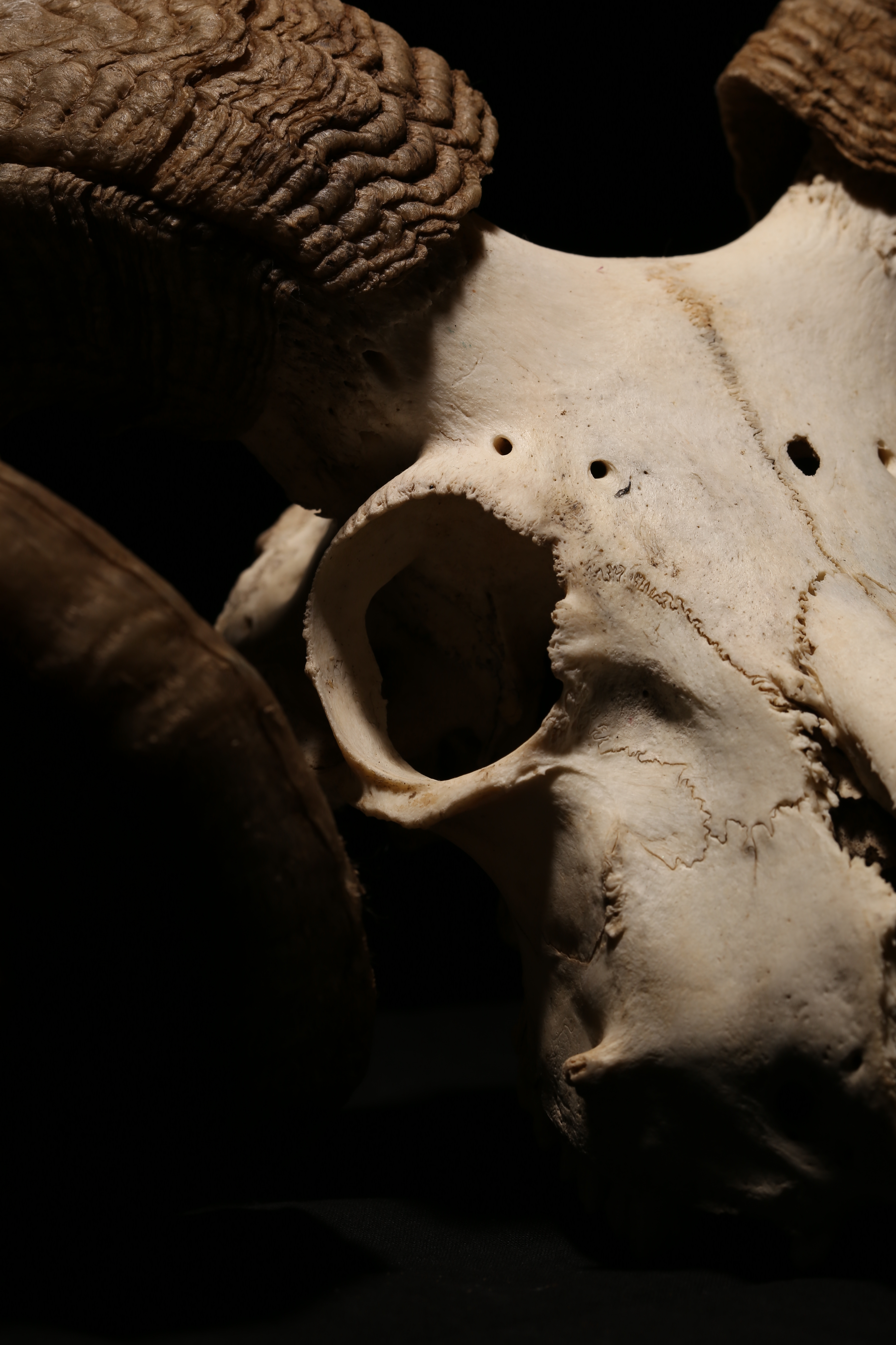 Animal Skull, Anatomy, Research, Horns, Isolated, HQ Photo