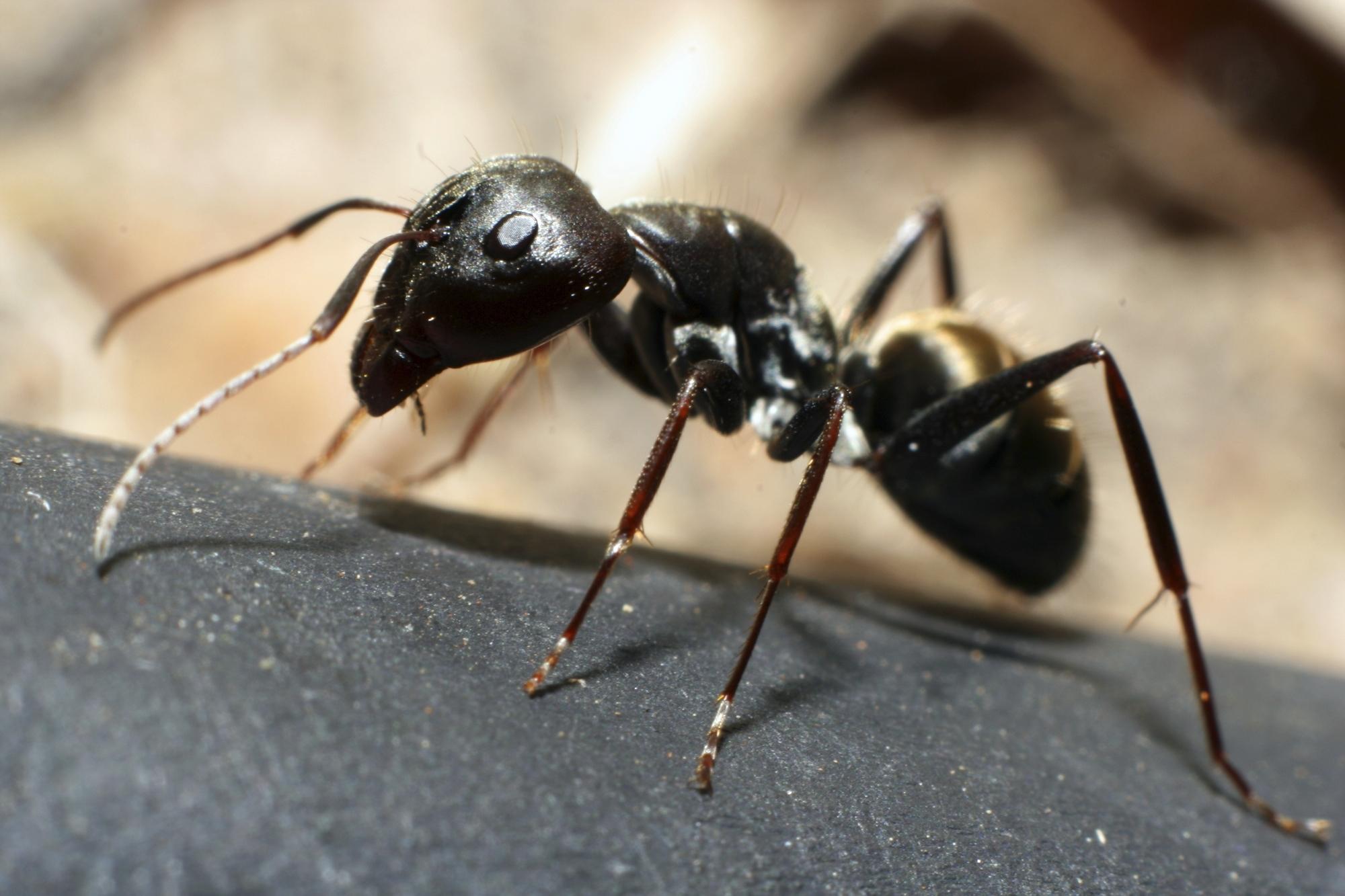 Red garden ant photo