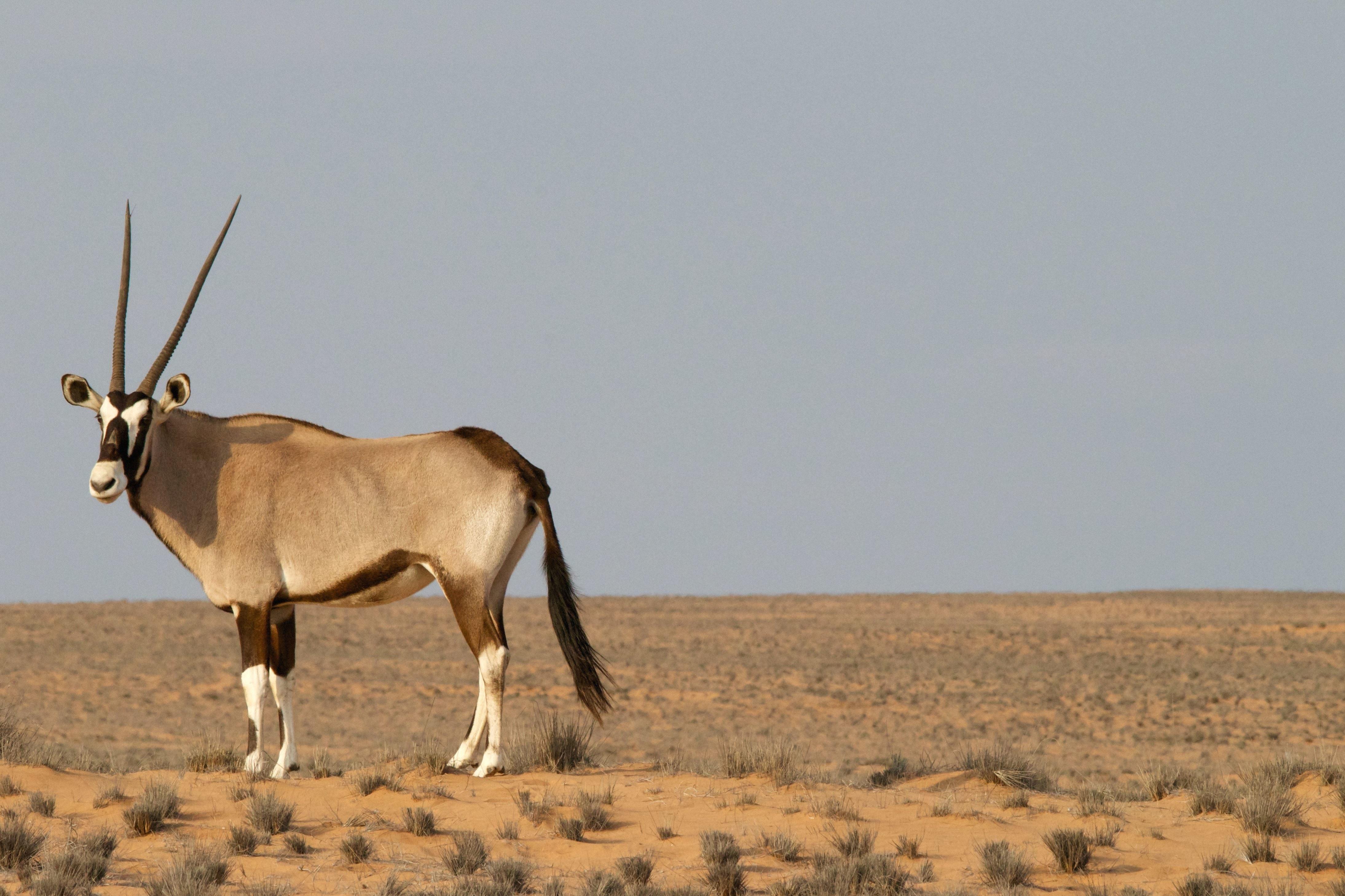 Free picture: antelope, animal, desert, grass, horns, sky