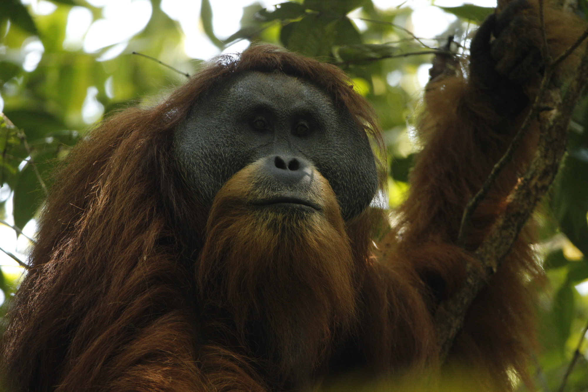 New great ape species discovered in Indonesia | UoP News