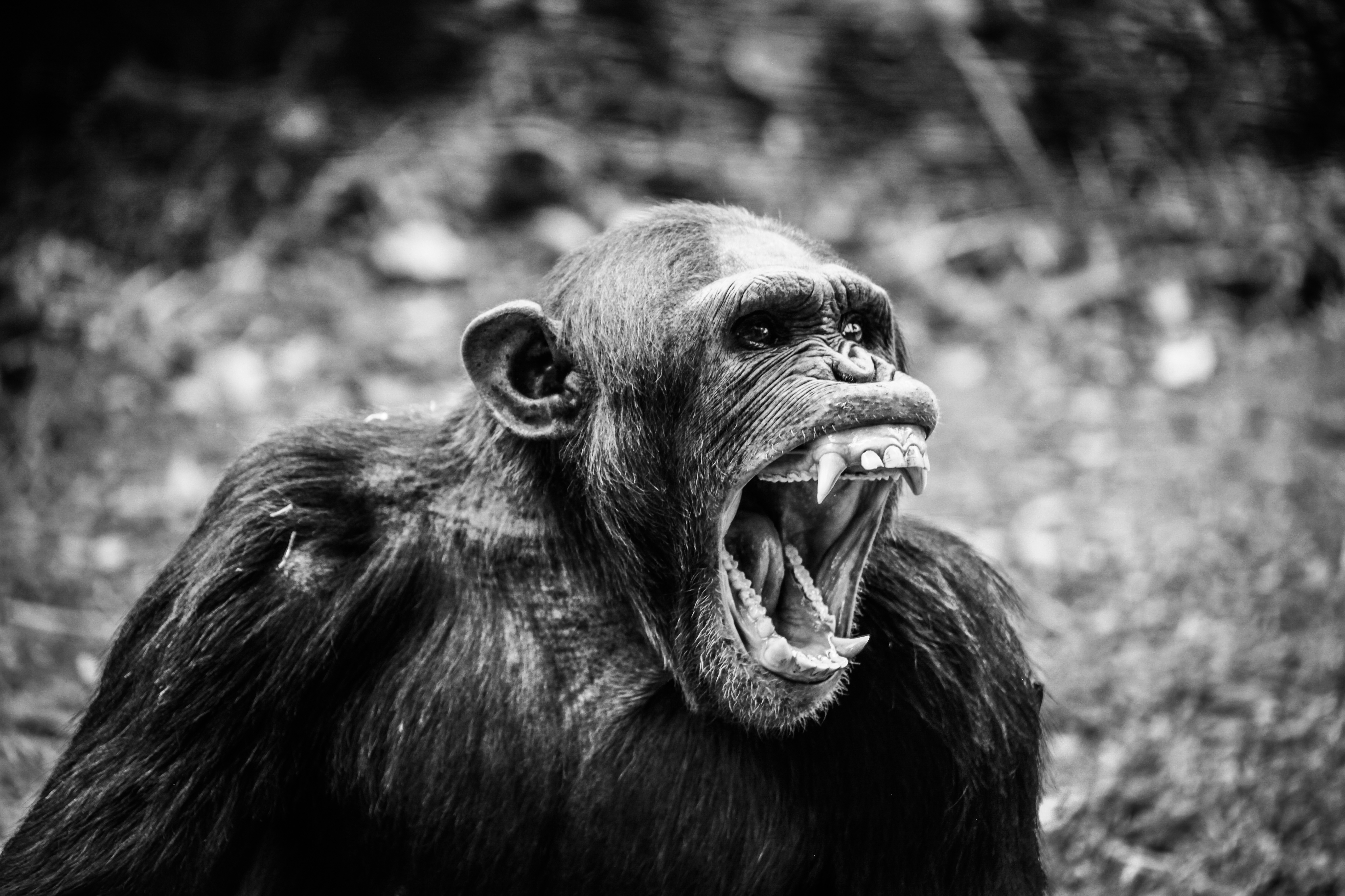 Ape, Animal, Gorilla, Power, Powerful, HQ Photo