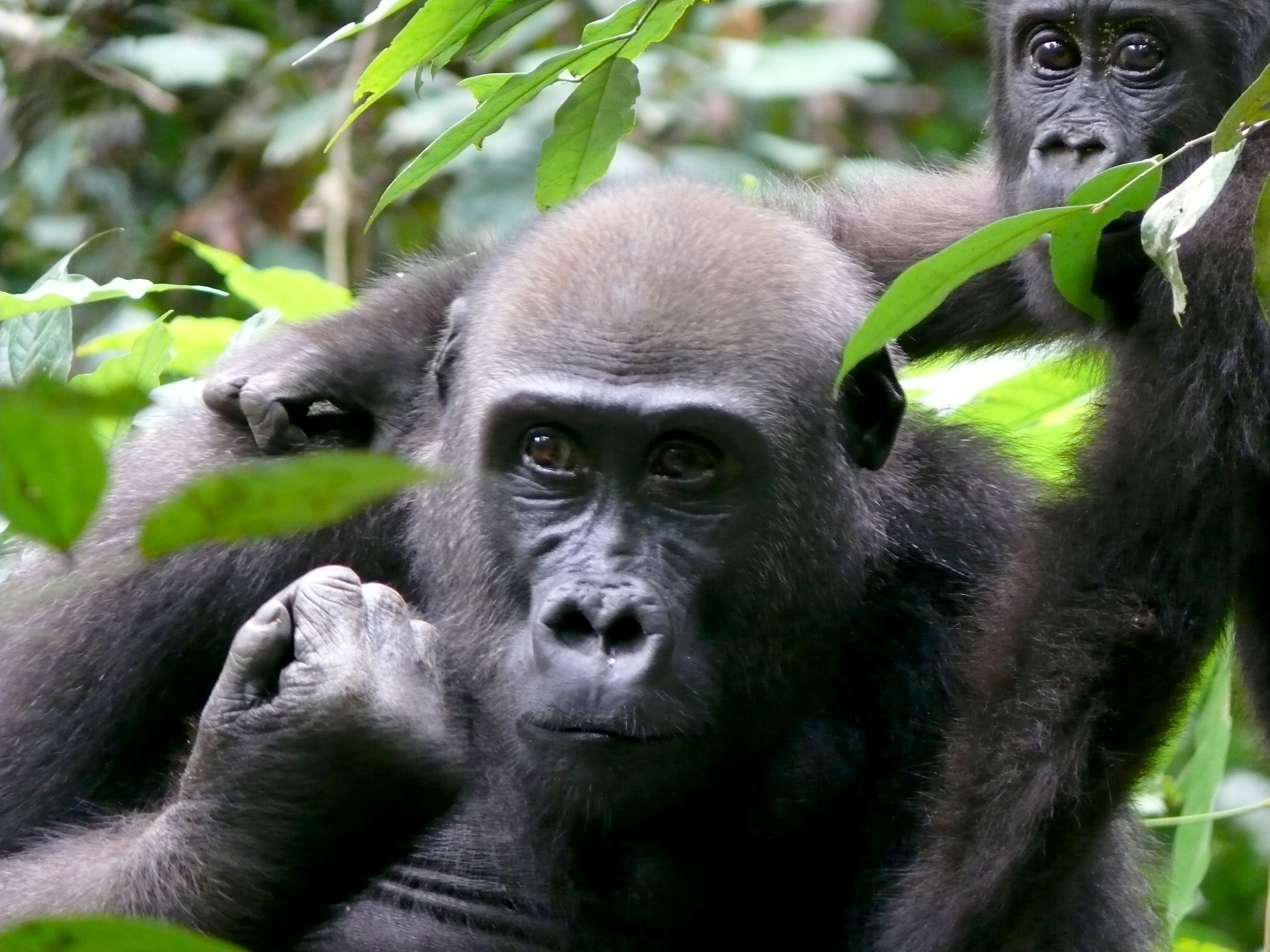 Great Ape Conservation Fund