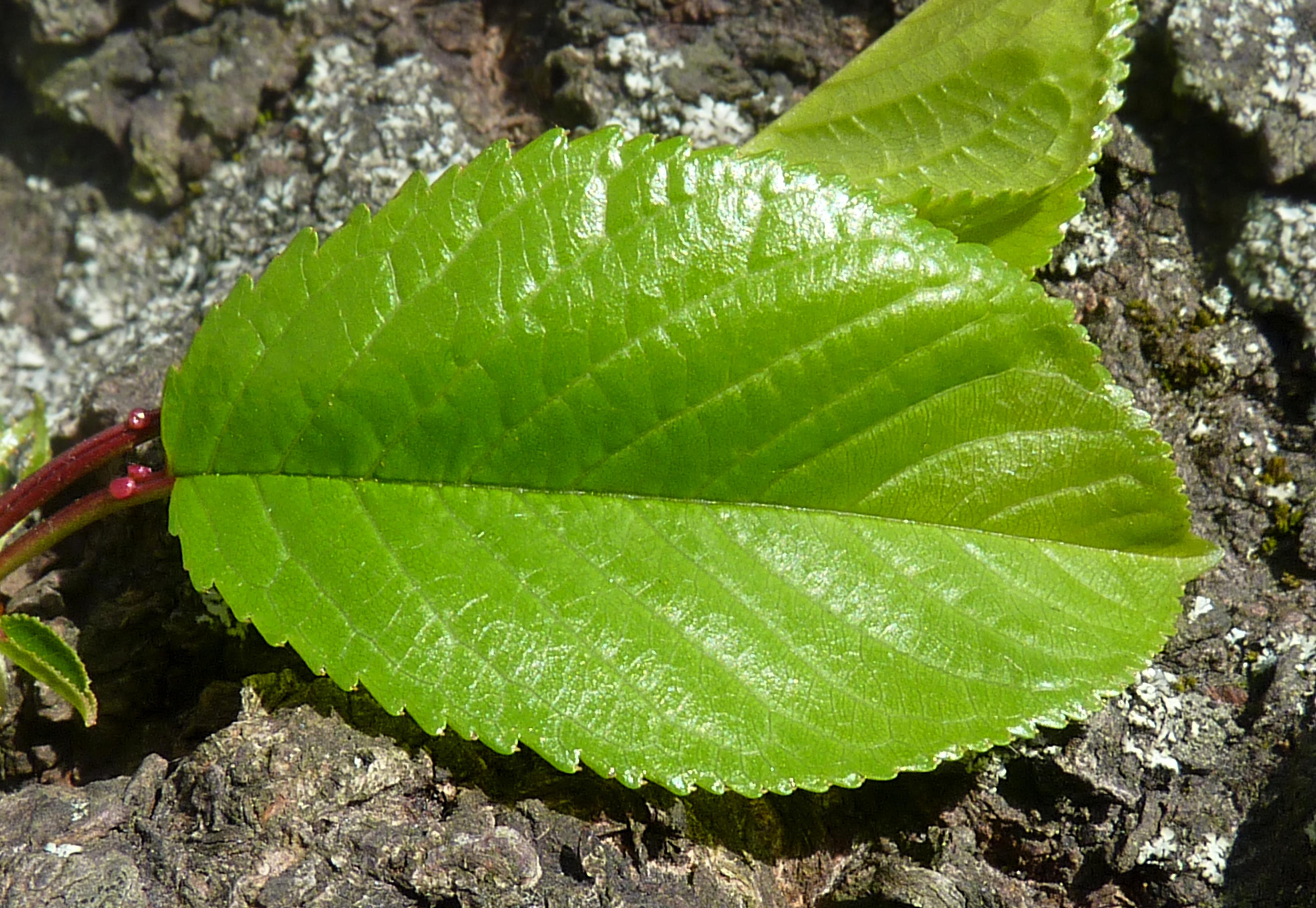 File:Apple tree leaf J1.jpg - Wikimedia Commons