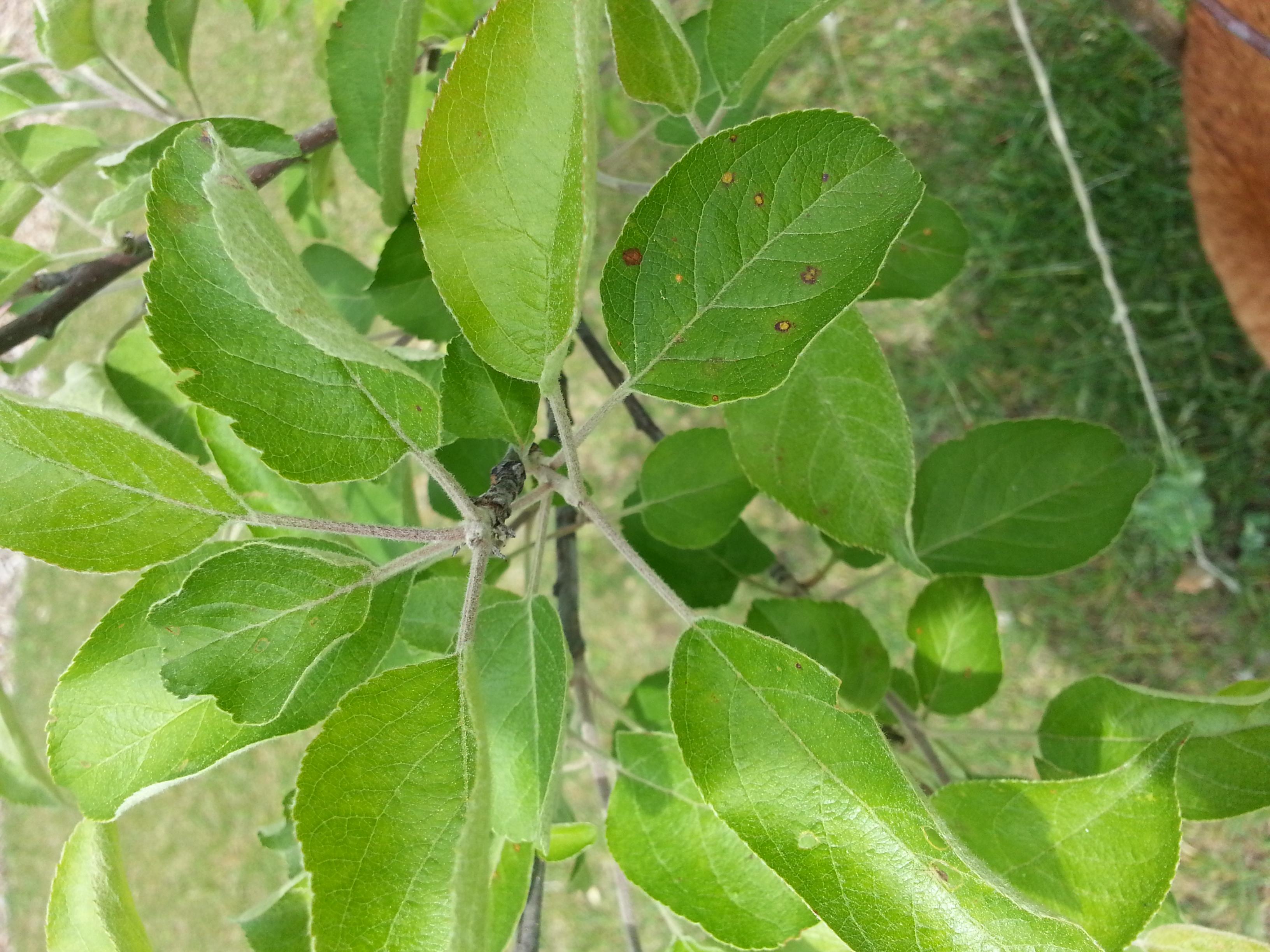Apple rust leaf (trees forum at permies)