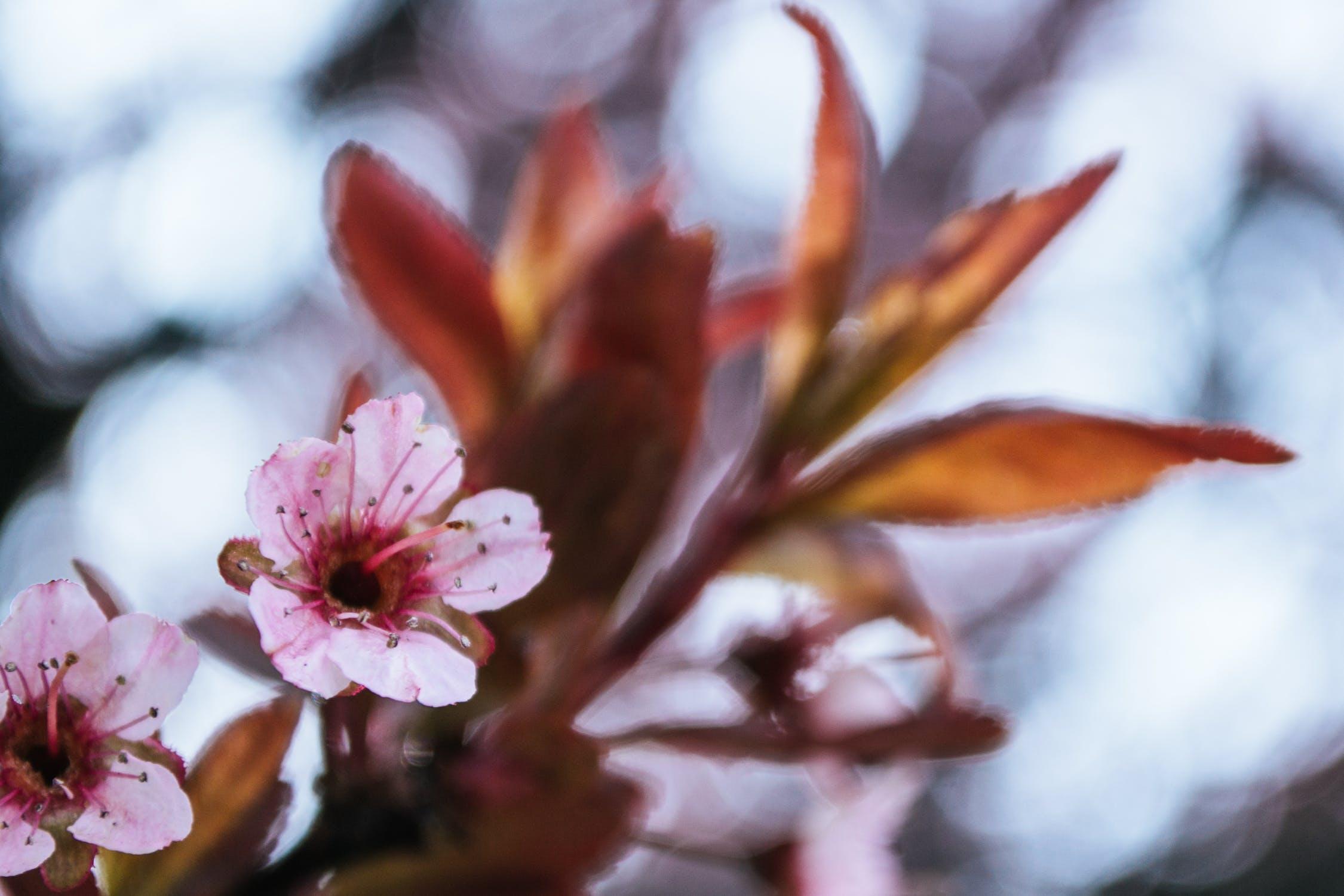 Apple leaf, Apple leaf