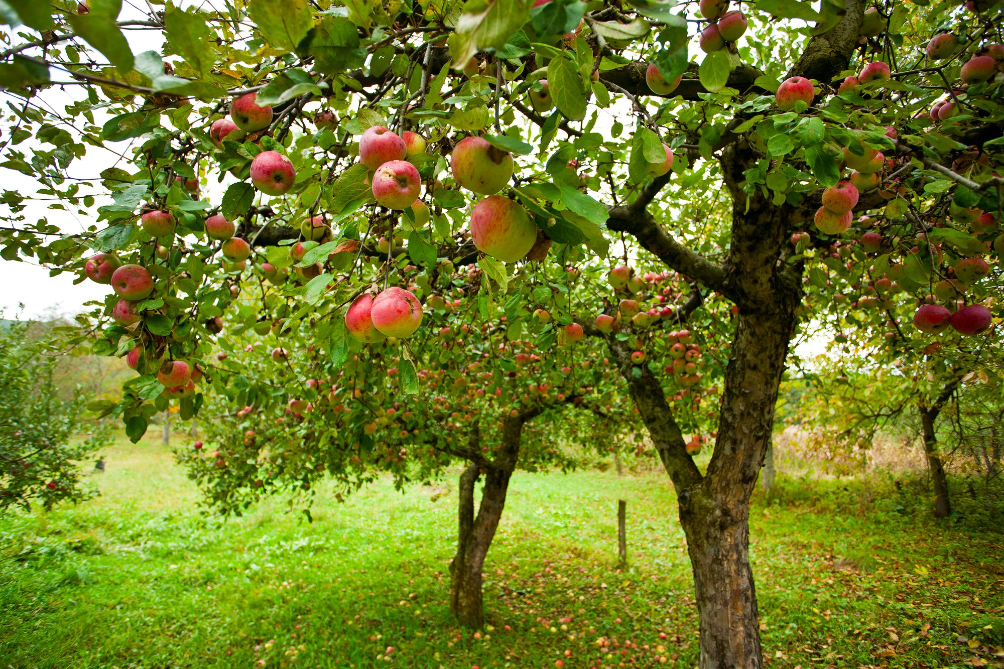 Apple Tree Day | Days Of The Year