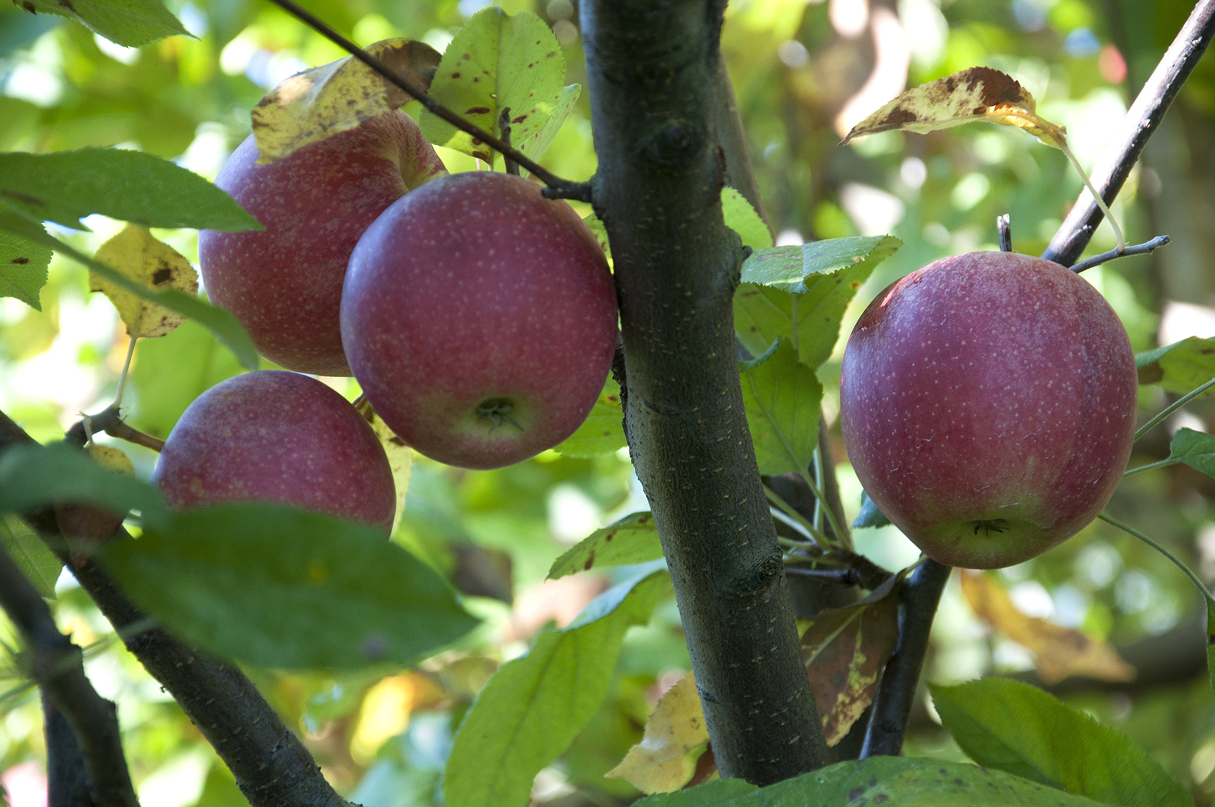 Apple trees bear more fruit when surrounded by good neighbors