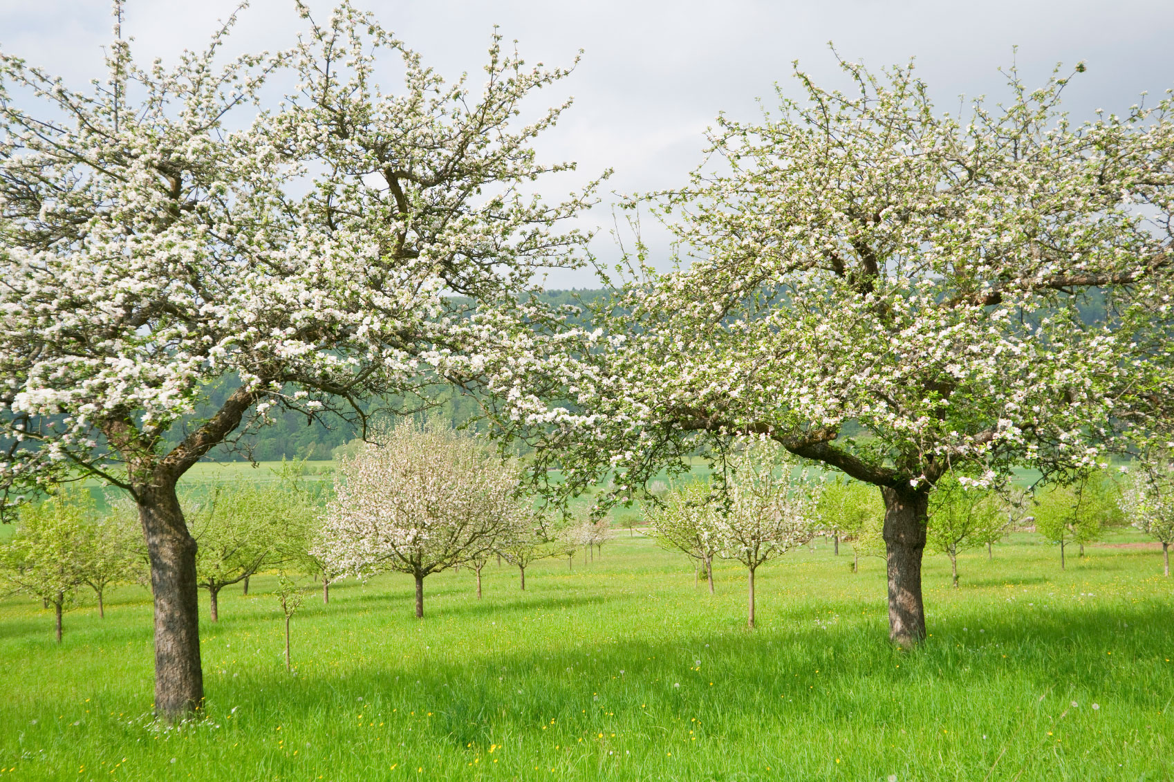 Growing Apples ? Learn About Cross Pollination Between Apple Trees