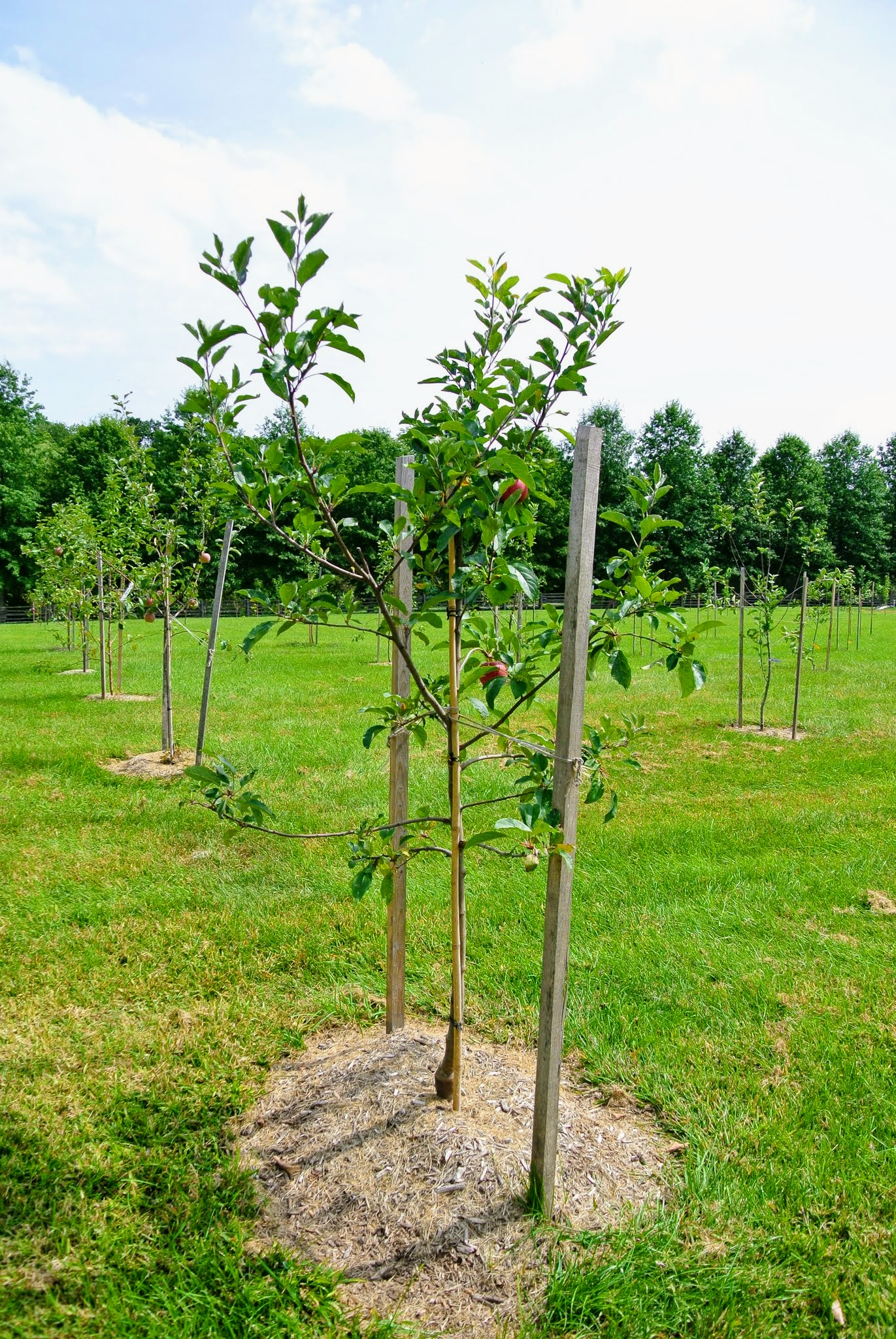 The Many Apple Trees at My Farm - The Martha Stewart Blog