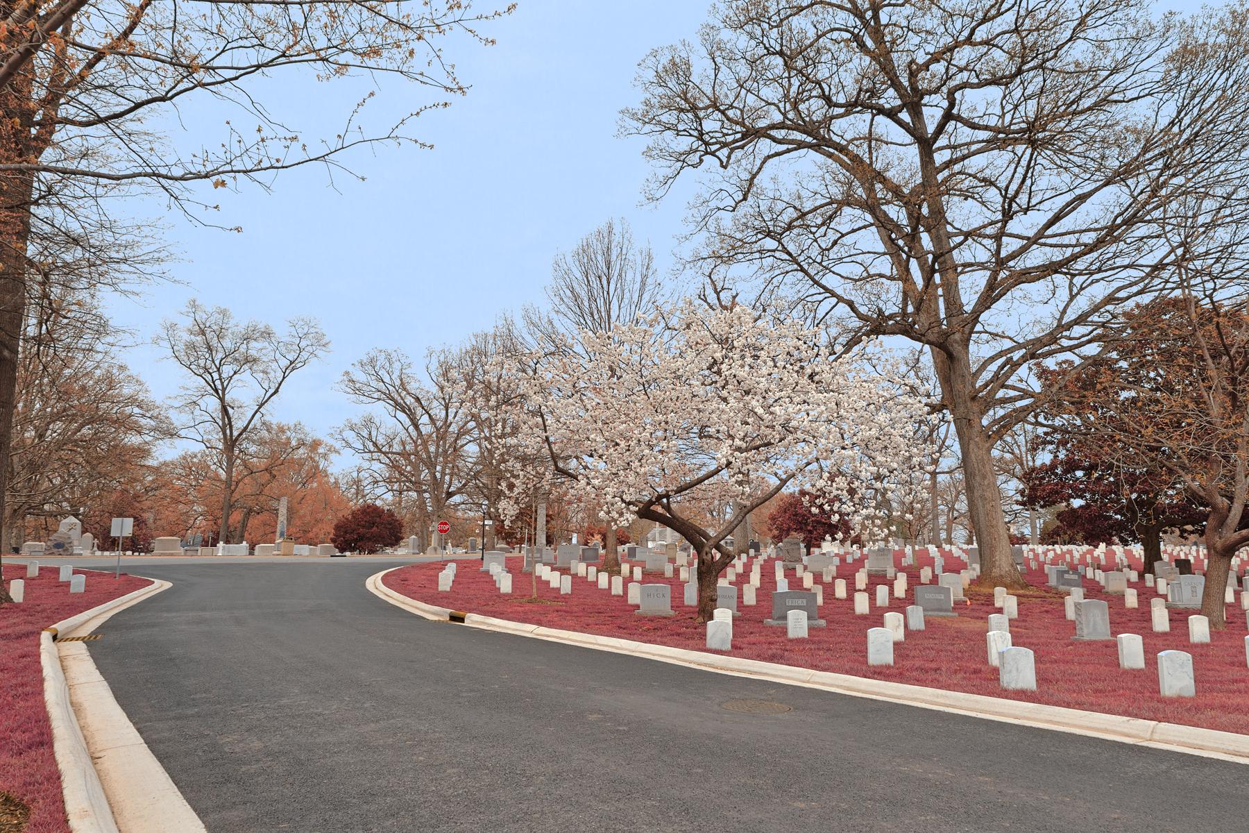 Arlington Cemetery Road - Cerise Pink HDR, America, Quiet, Serrulata, Serenity, HQ Photo