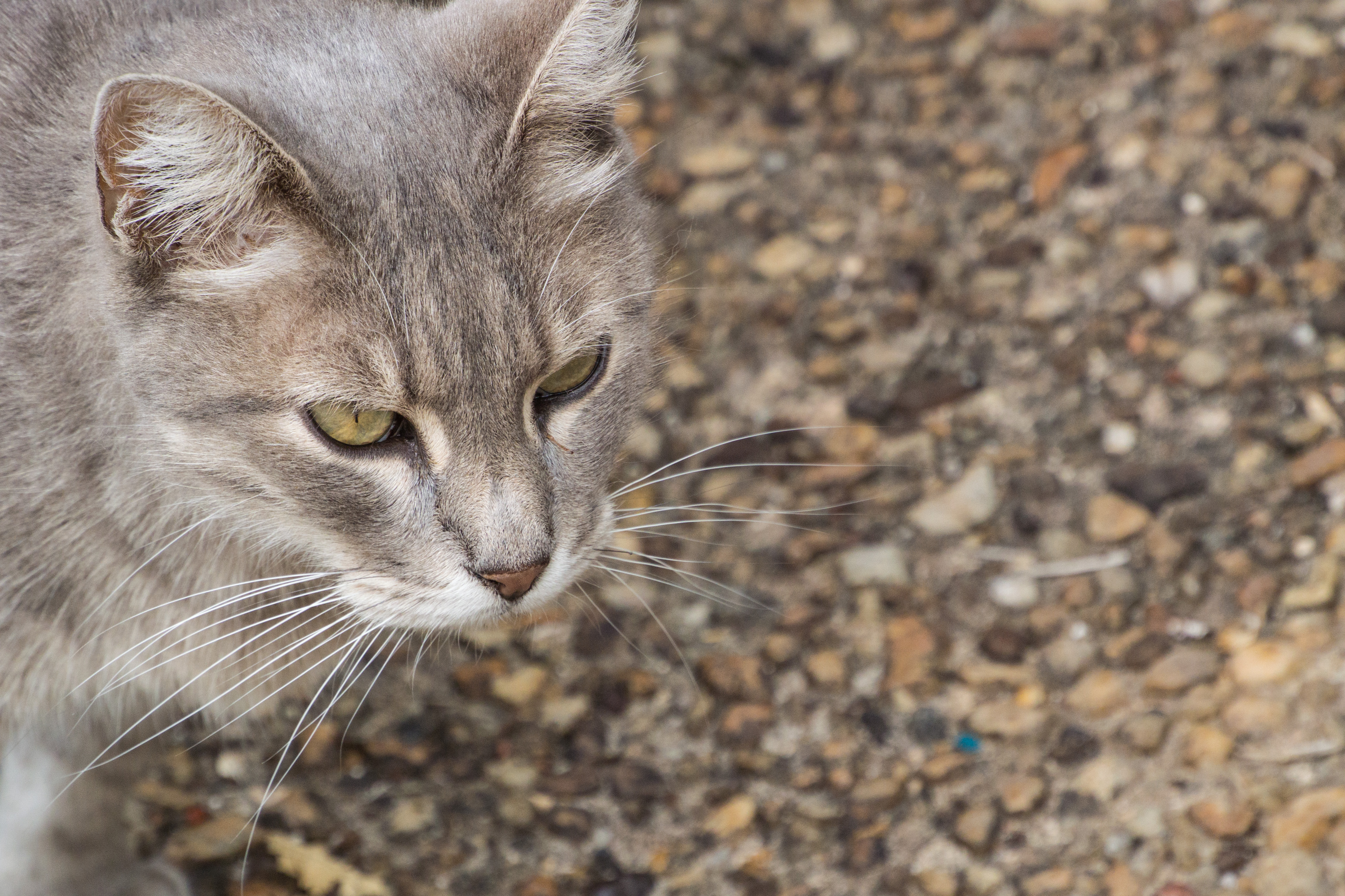 Around our place in st cyprien -france-dordogne-v2-30-110mm-20150718-DSC_0613.jpg, Animal, Aquitaine, Cat, FR, HQ Photo