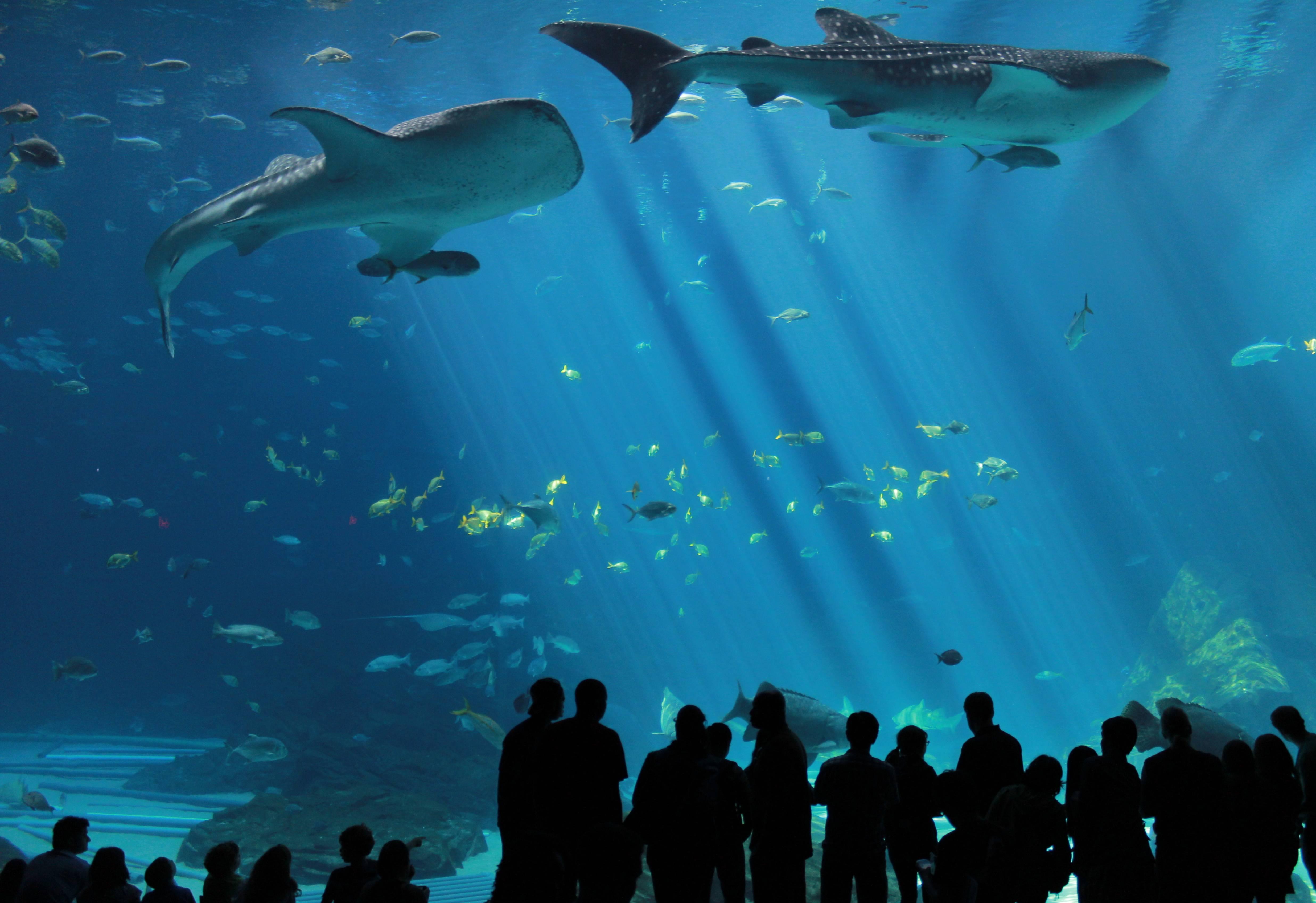 Whale sharks in the Atlanta aquarium : pics