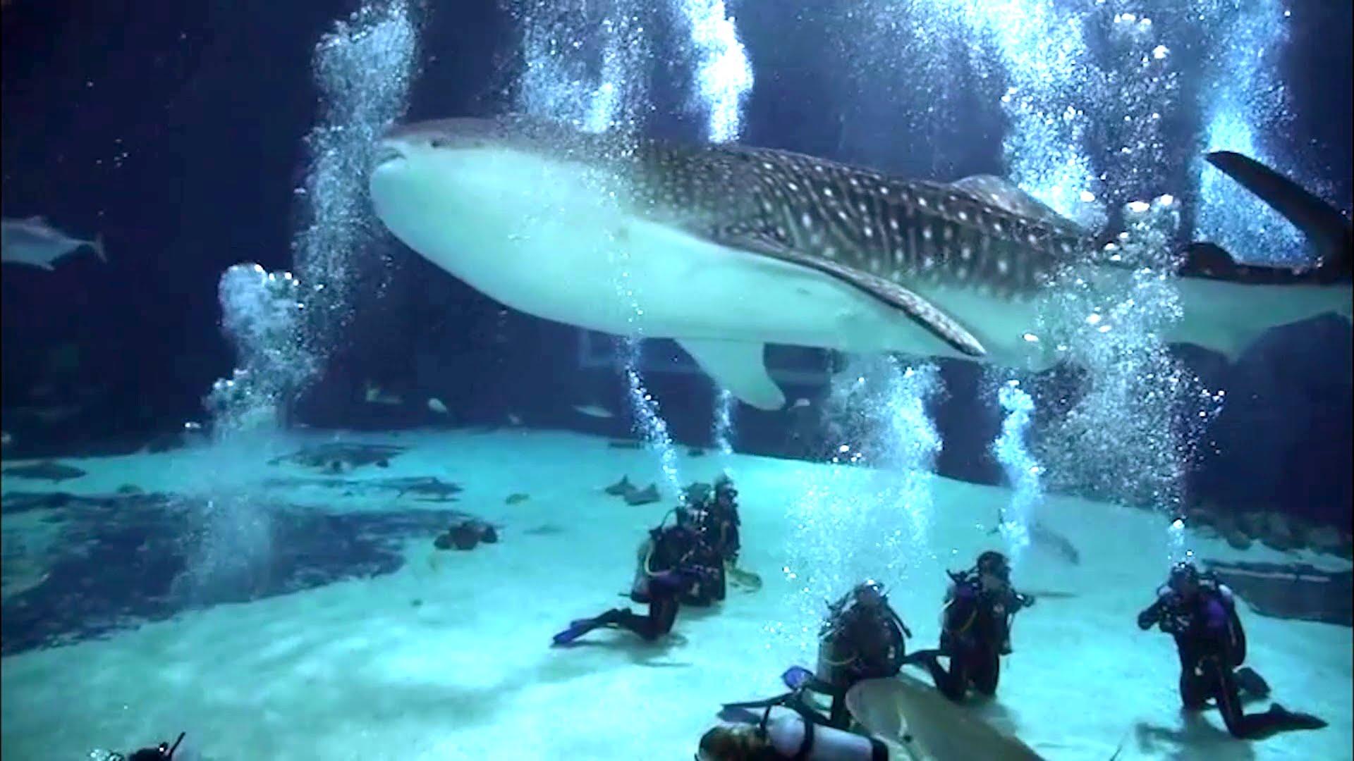 Scuba Diving with Whale Sharks - Georgia Aquarium - YouTube