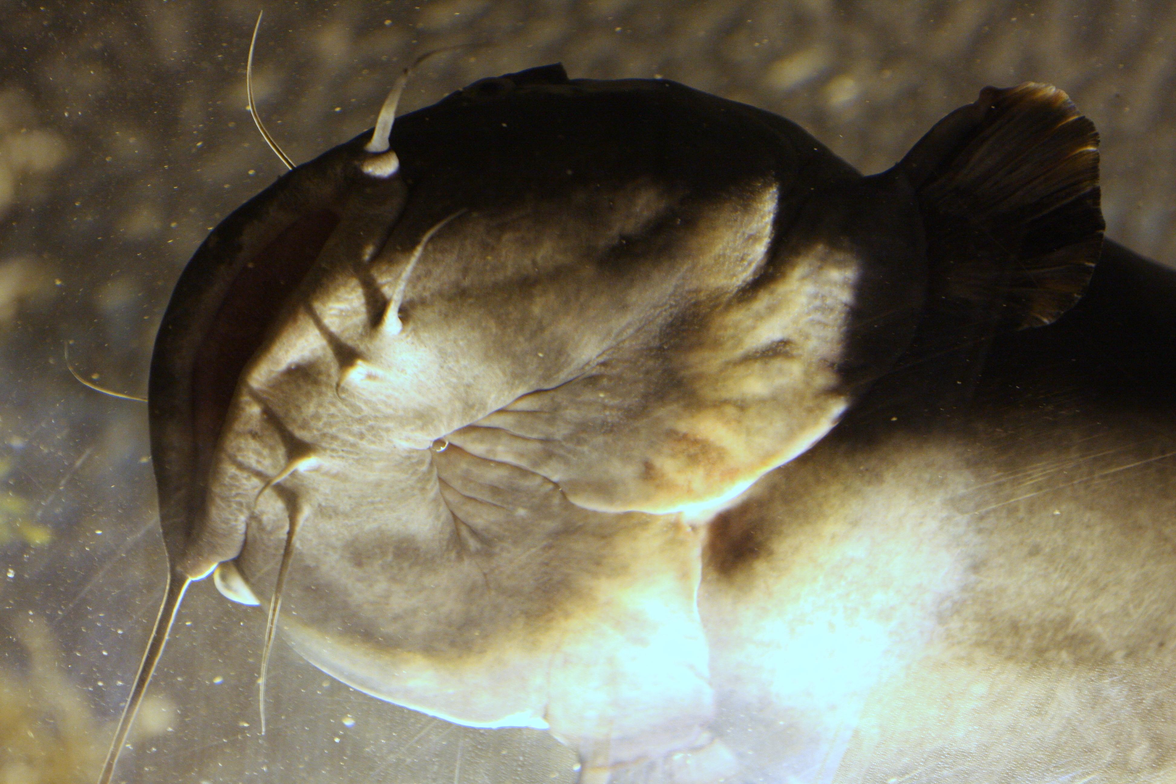 Atlanta Aquarium, Aquarium, Catfish, Fish, Ocean, HQ Photo