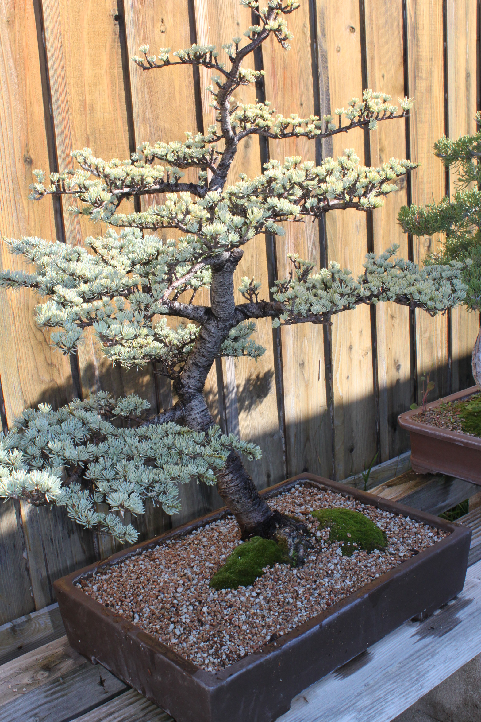 Atlas cedar bonsai photo