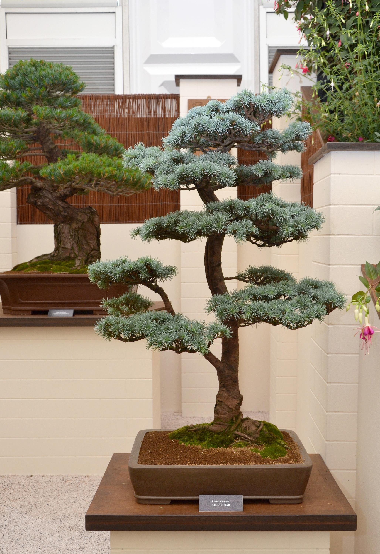 Atlas cedar bonsai tree photo