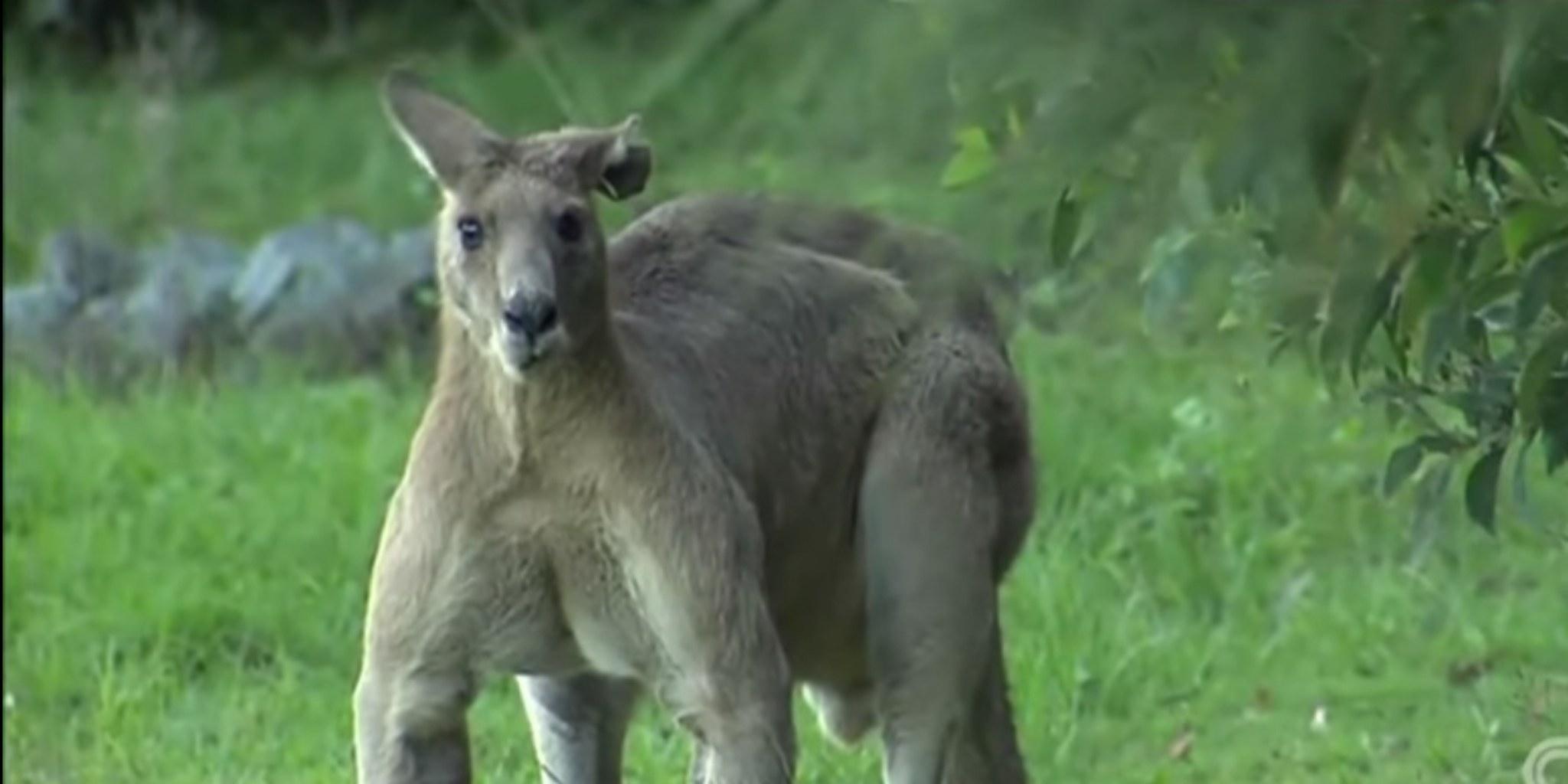 Huge kangaroo hangs out menacingly around Australian neighborhood ...