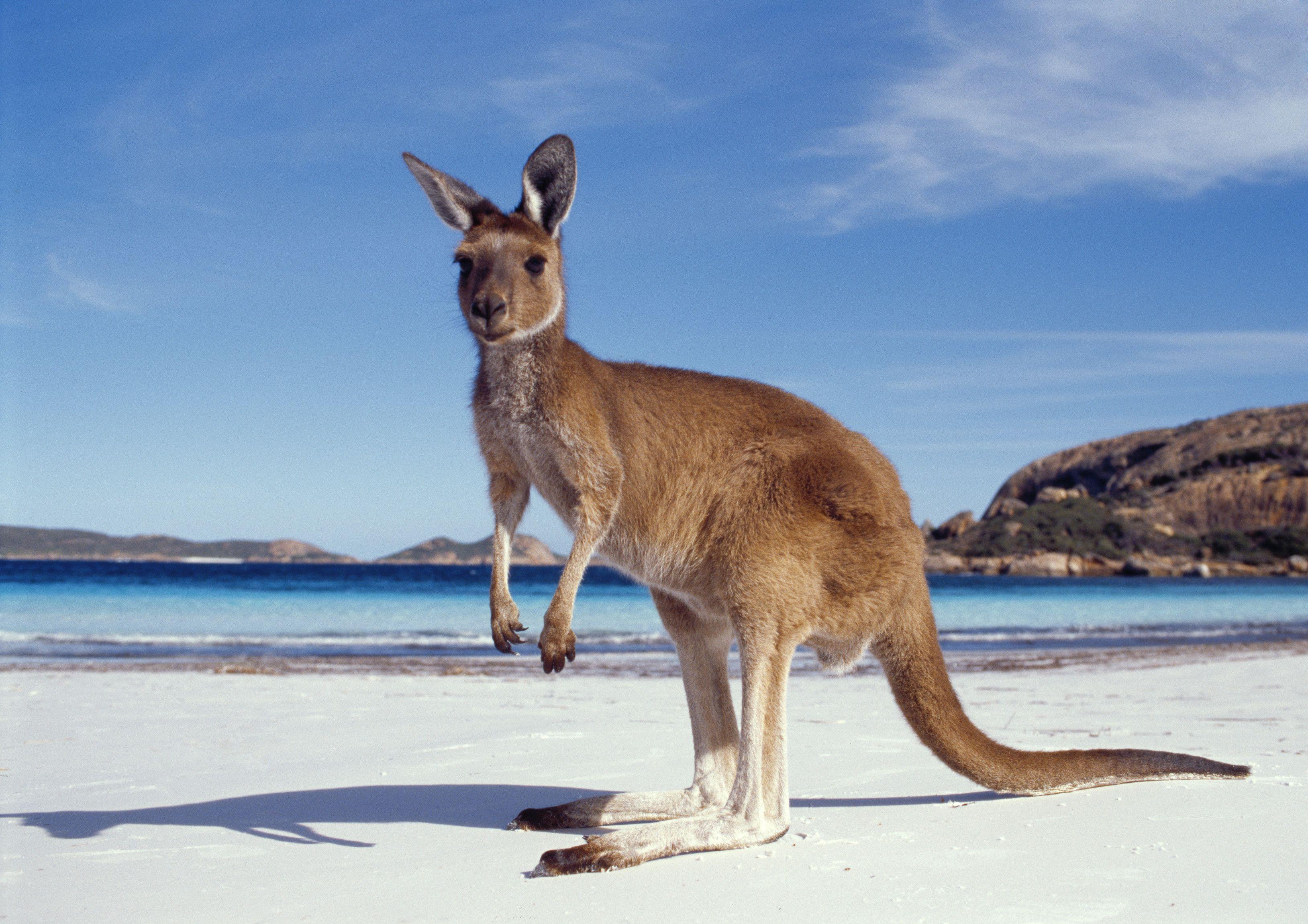 australian kangaroo | NATURE | Pinterest | Kangaroos, Animal and ...